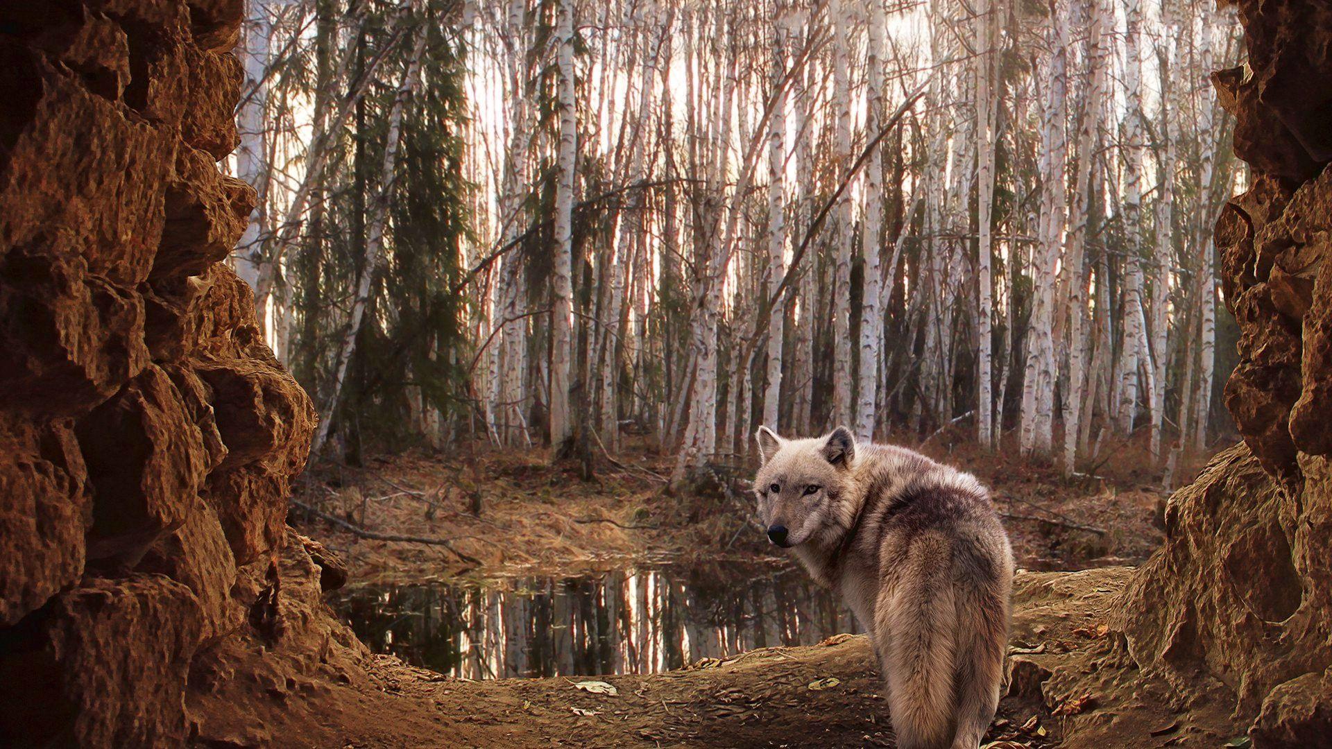 1920x1080 Hình nền chó sói HD tốt nhất