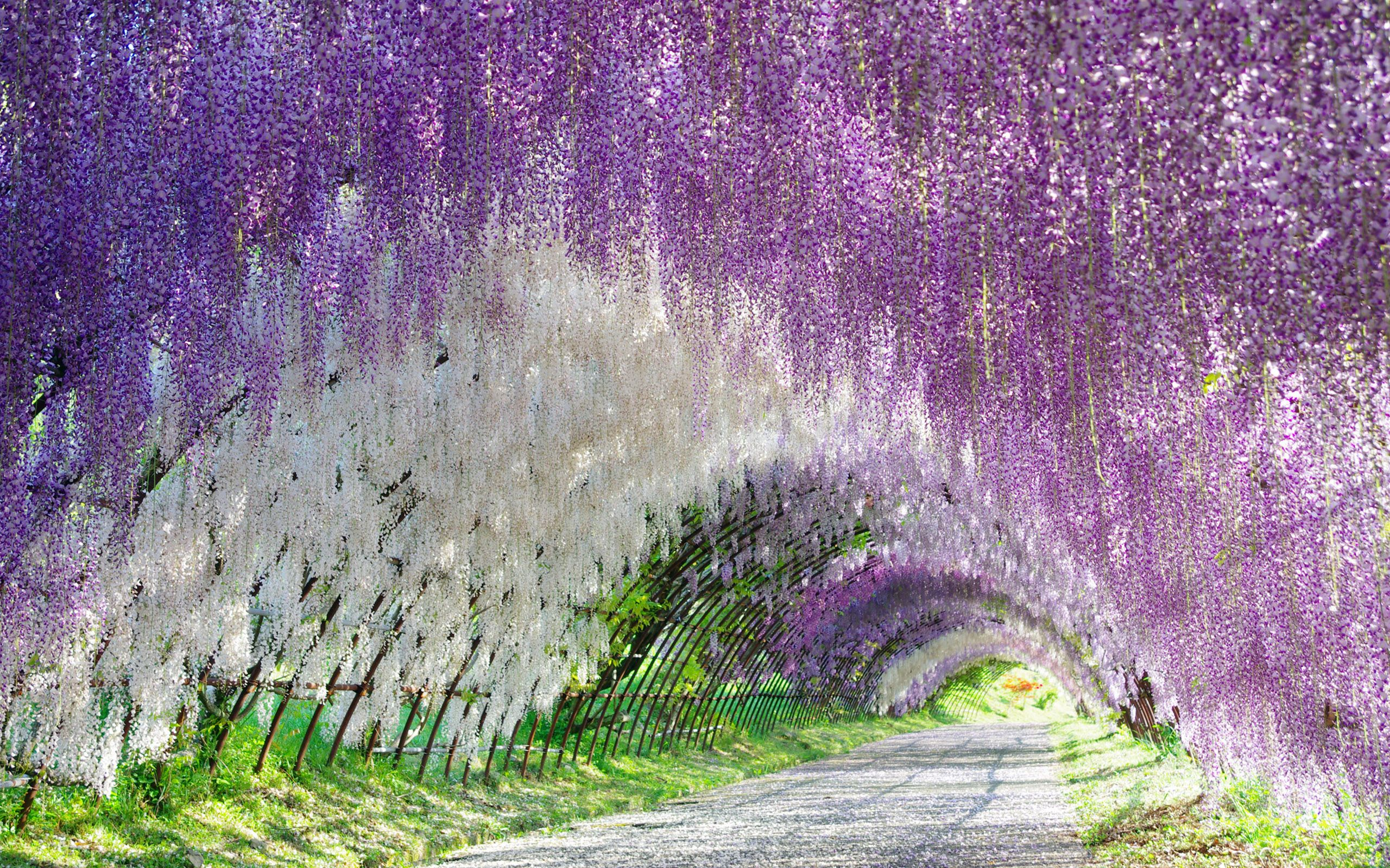 Japanese Wisteria Iphone Wallpapers Top Free Japanese Wisteria Iphone Backgrounds Wallpaperaccess