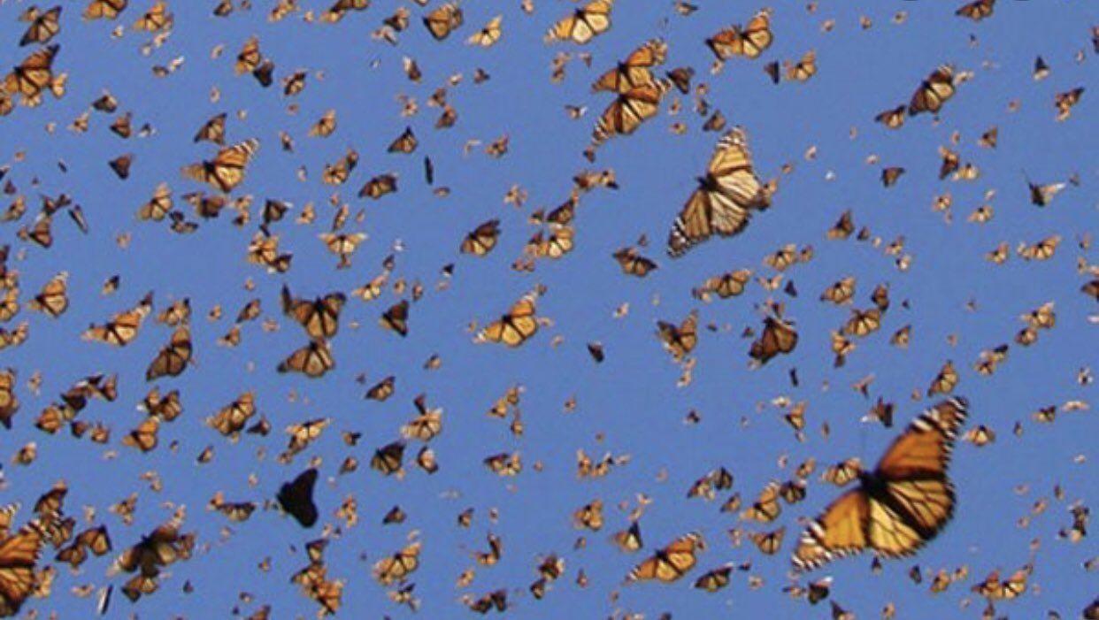 1242x701 Lily Wang trên Twitter.  Hình nền thẩm mỹ, Hình nền máy tính thẩm mỹ, Chụp ảnh bướm Monarch