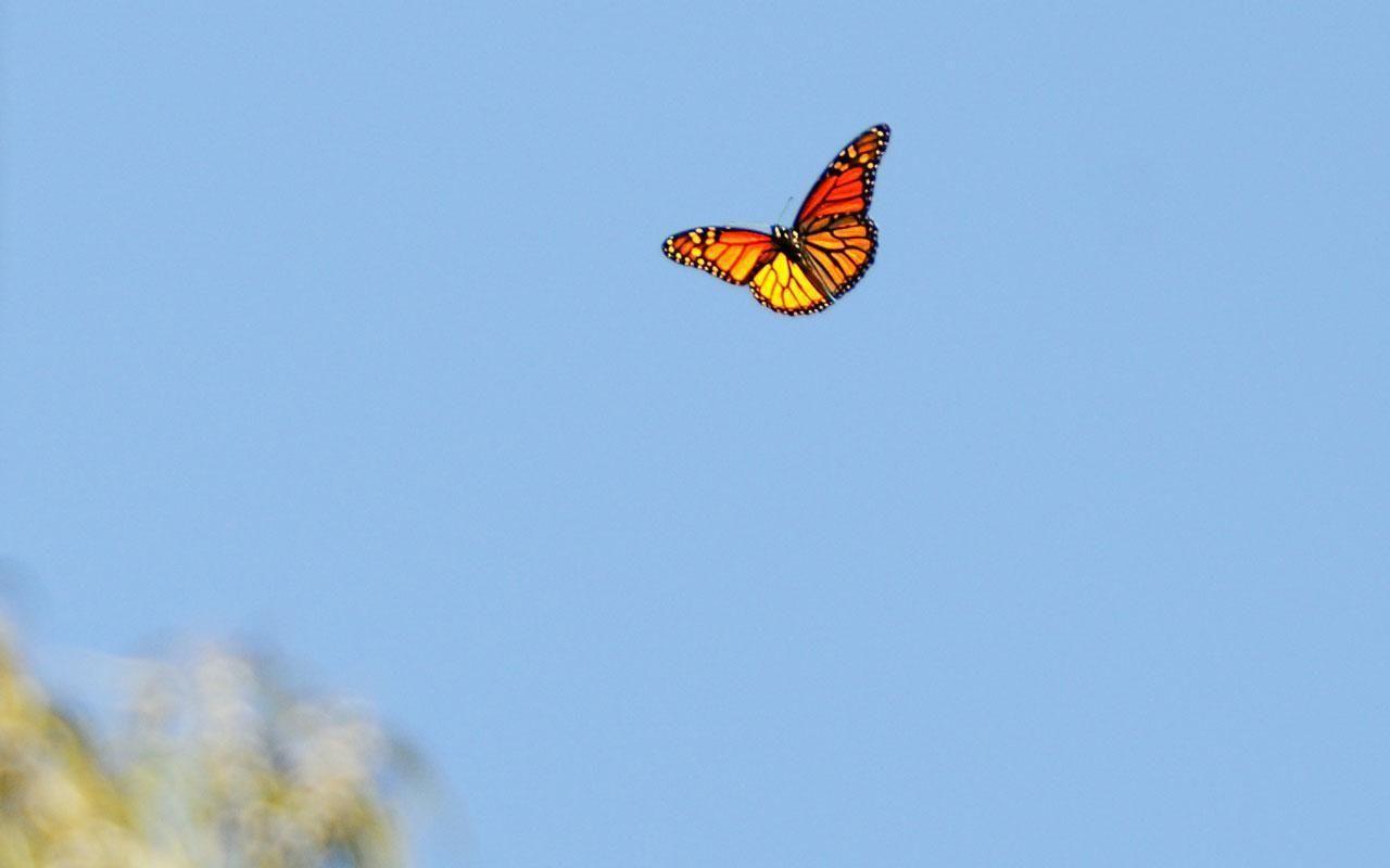 Hình nền thẩm mỹ máy tính xách tay hình con bướm 1280x800