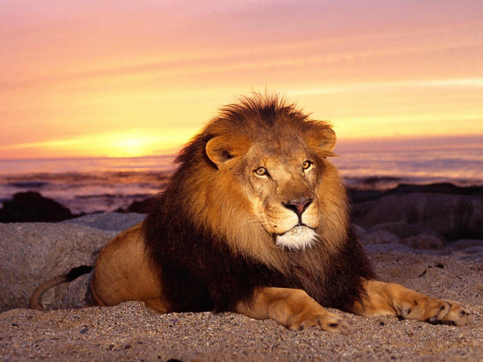 1600x1200 удивительные Лев обои