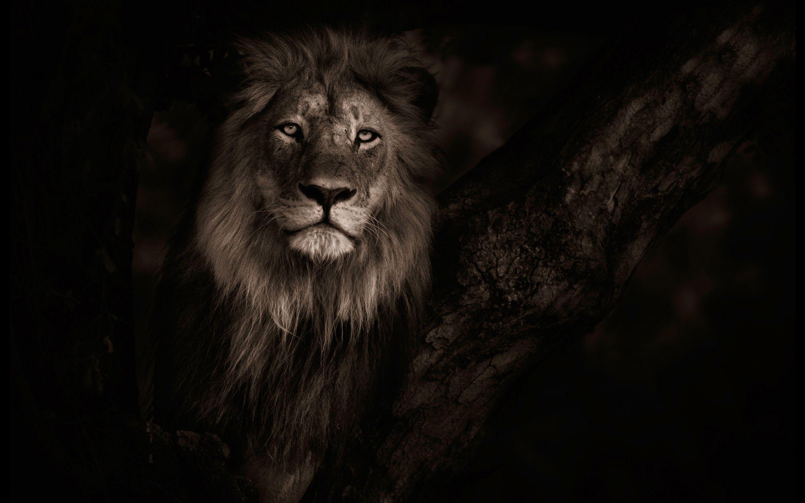 Lion Eyes Wallpaper Hd