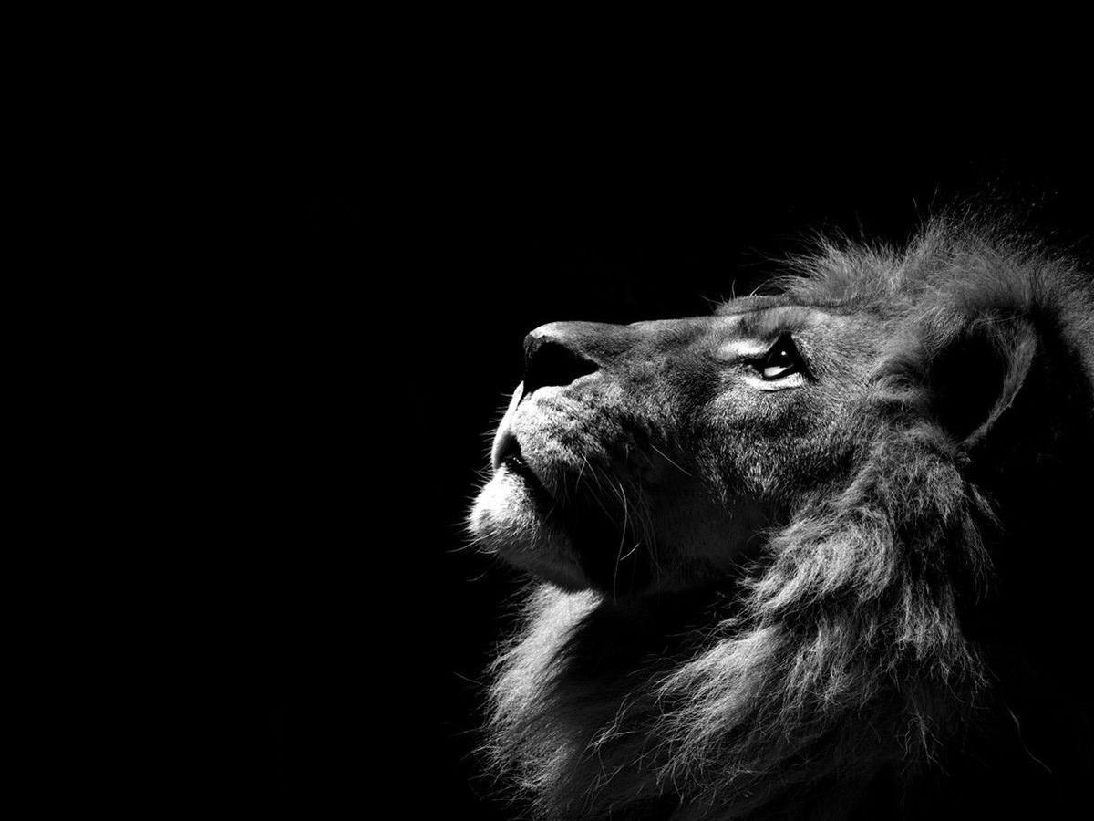 1200x900 Lion Wallpapers – Lion Wallpapers Collection – скачать бесплатно