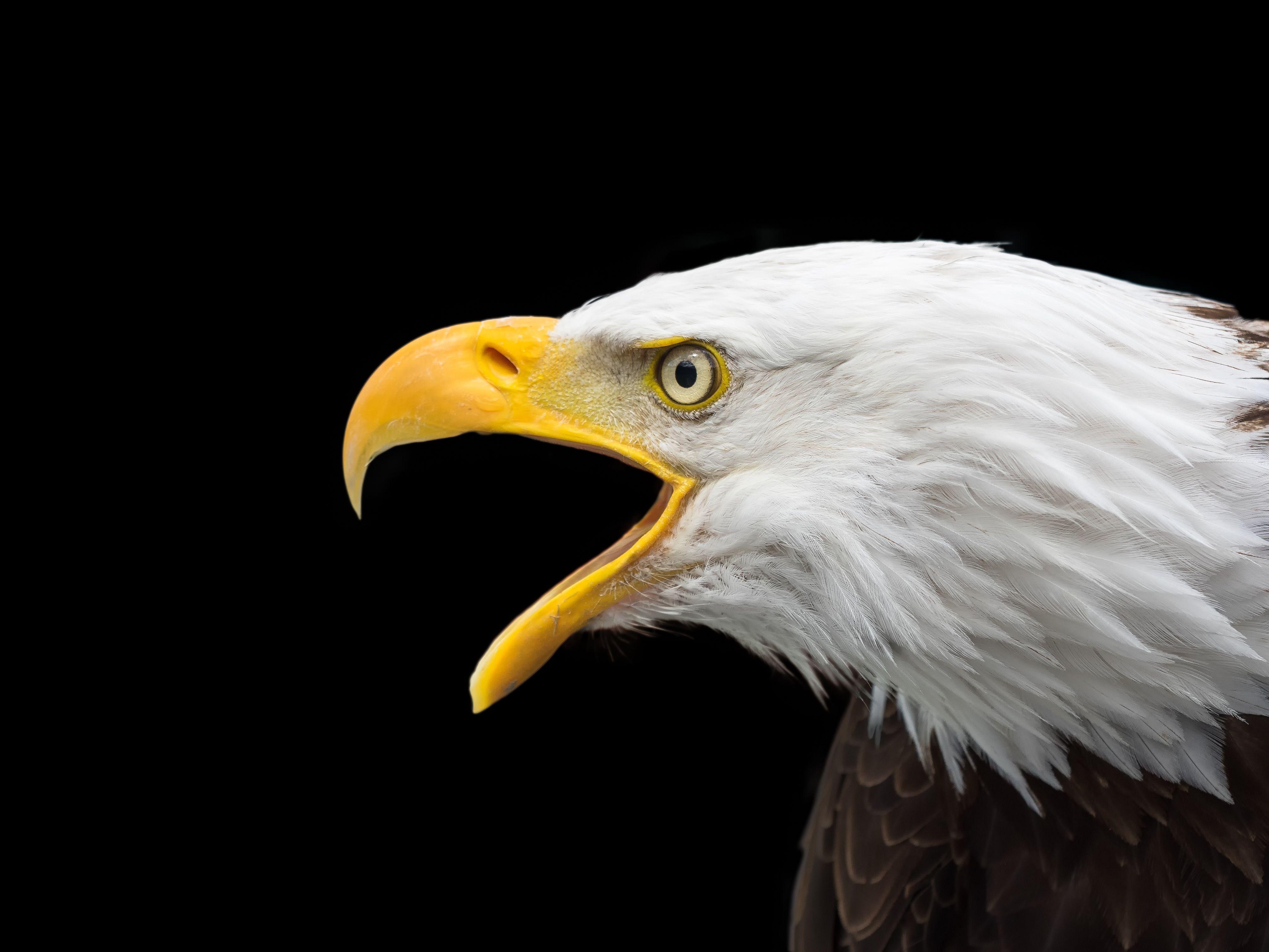 4K Eagle Wallpapers - Top Free 4K Eagle Backgrounds ...