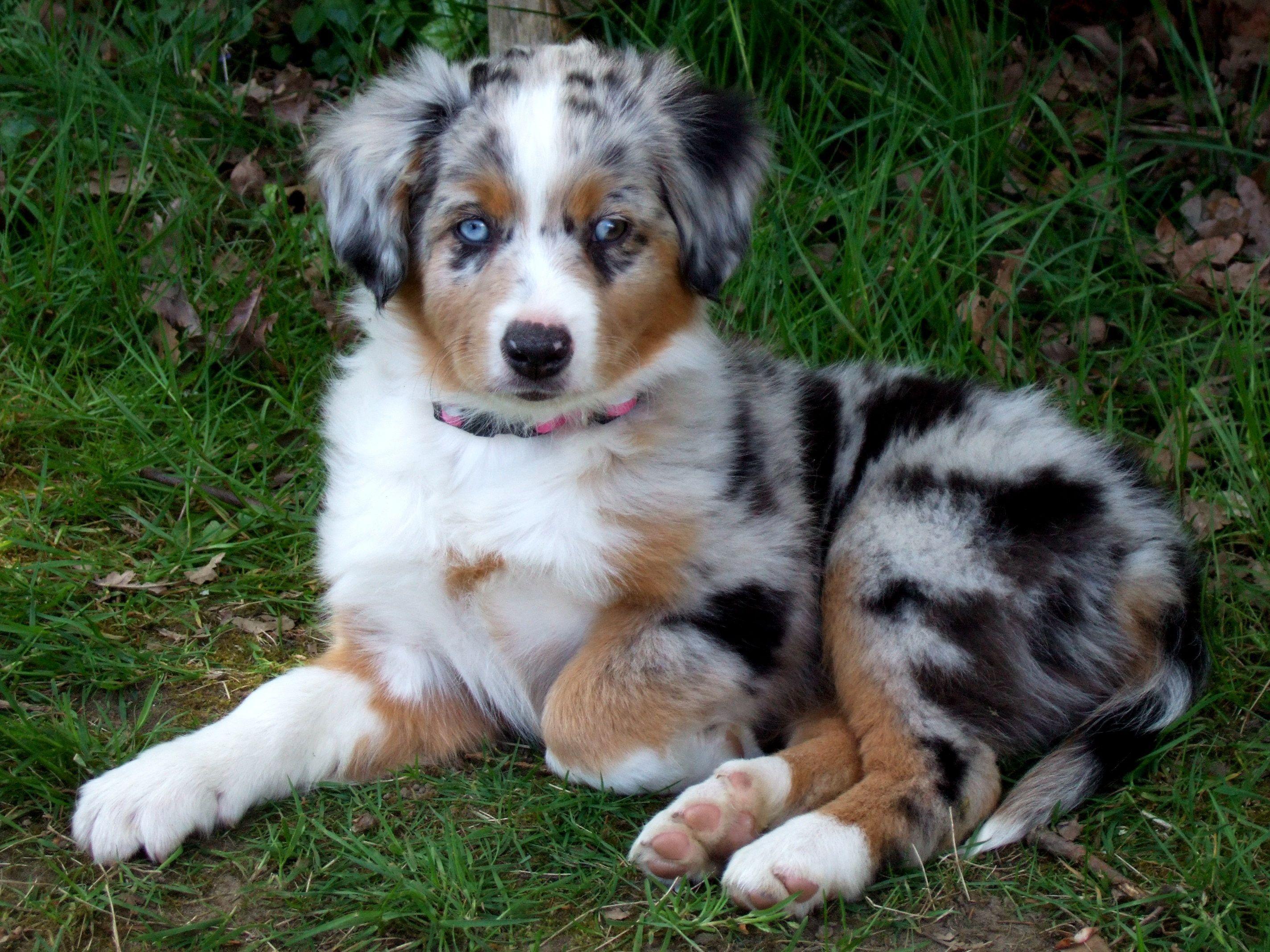 Australian Shepherd Puppy Wallpapers Top Free Australian Shepherd Puppy Backgrounds Wallpaperaccess