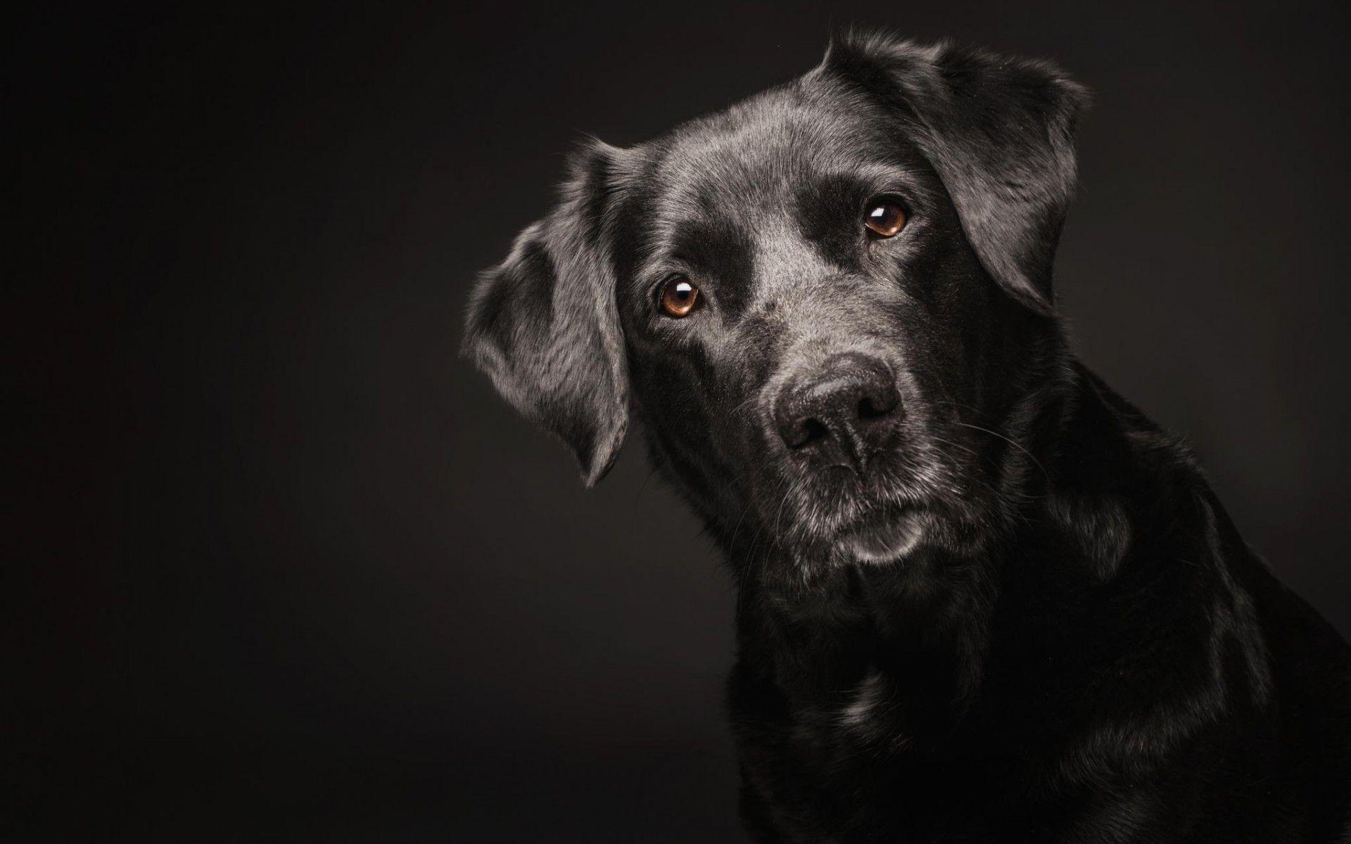 Black Dog Wallpapers Top Free Black Dog Backgrounds
