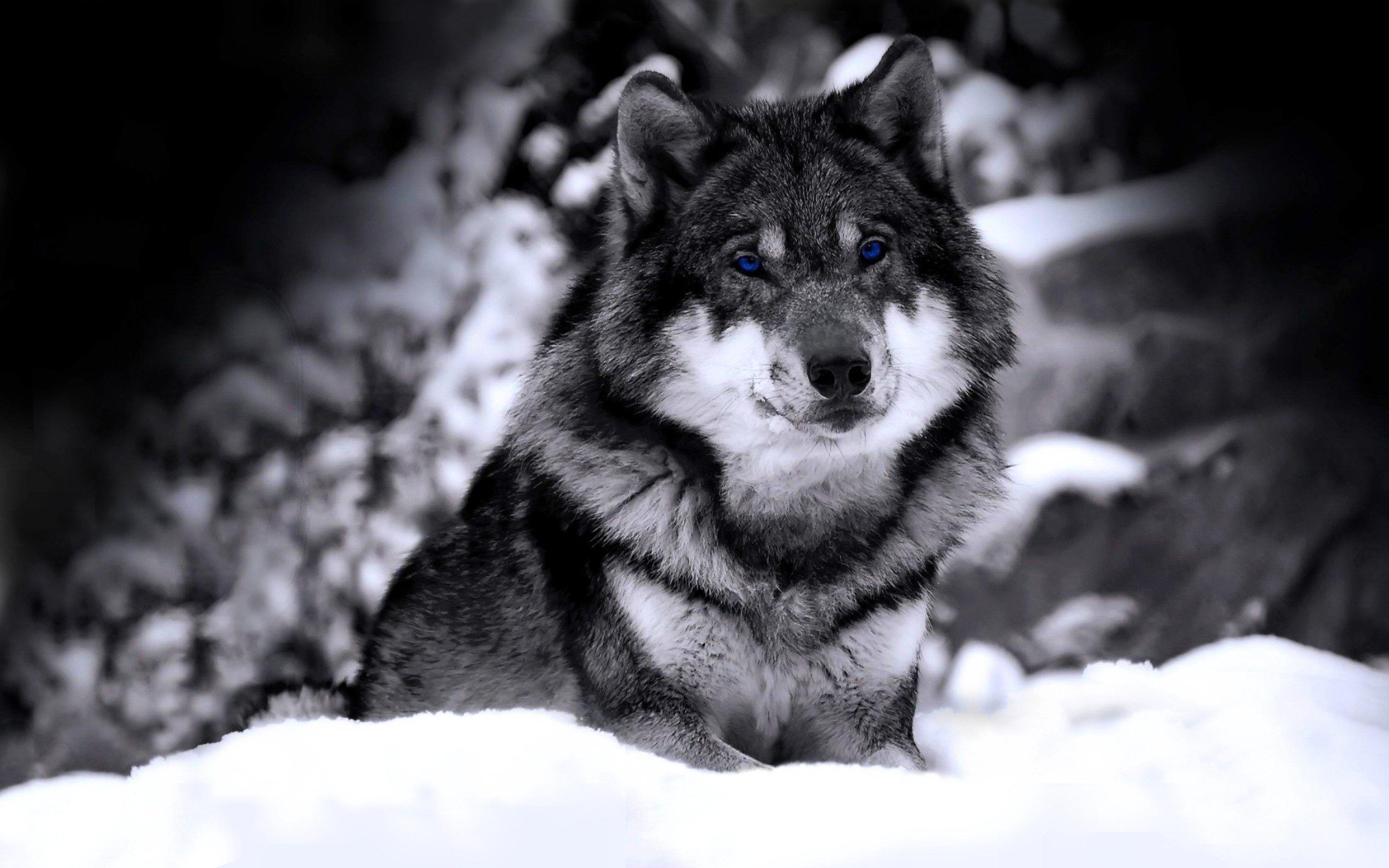 Wolf Desktop Wallpapers Top Free Wolf Desktop Backgrounds Wallpaperaccess