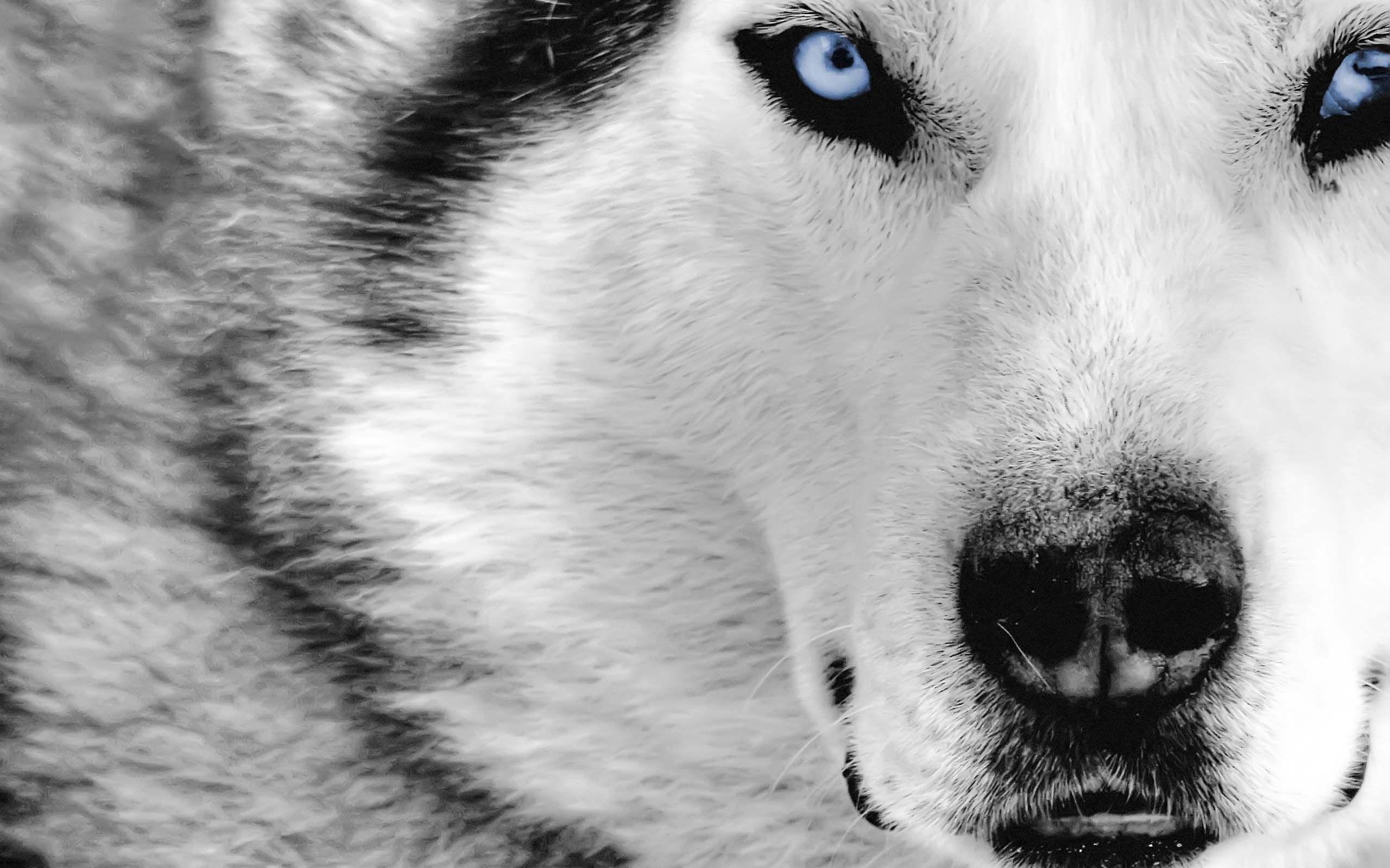 White Wolf Desktop Wallpapers Top Free White Wolf Desktop