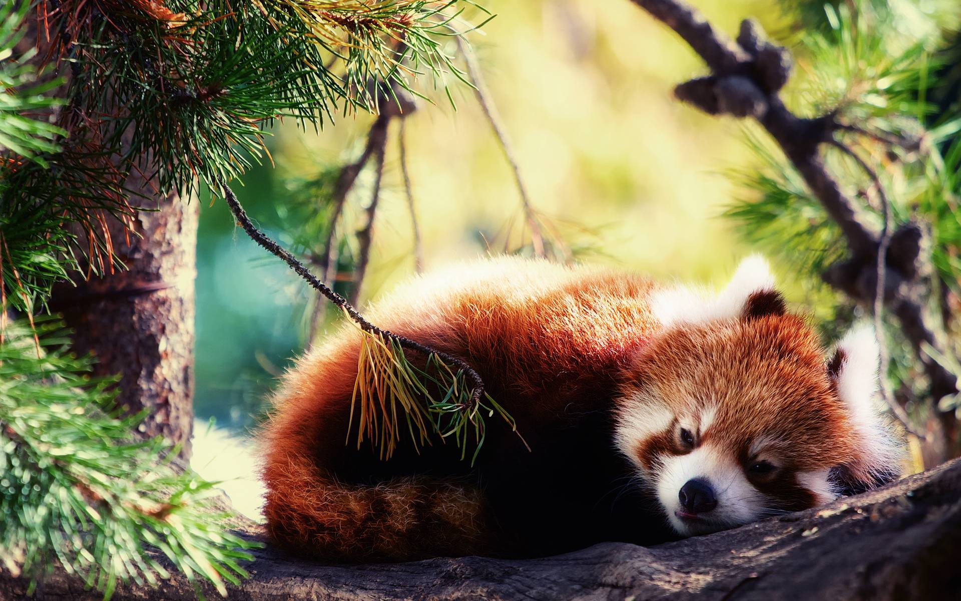 Baby Red Panda Wallpapers Top Free Baby Red Panda Backgrounds Wallpaperaccess