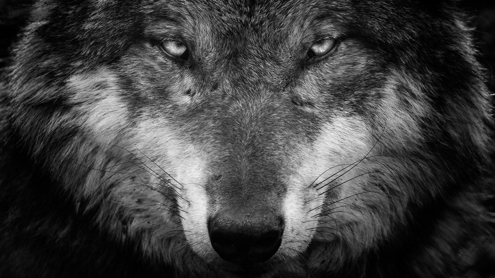 Black And White Wolf Wallpapers Top Free Black And White