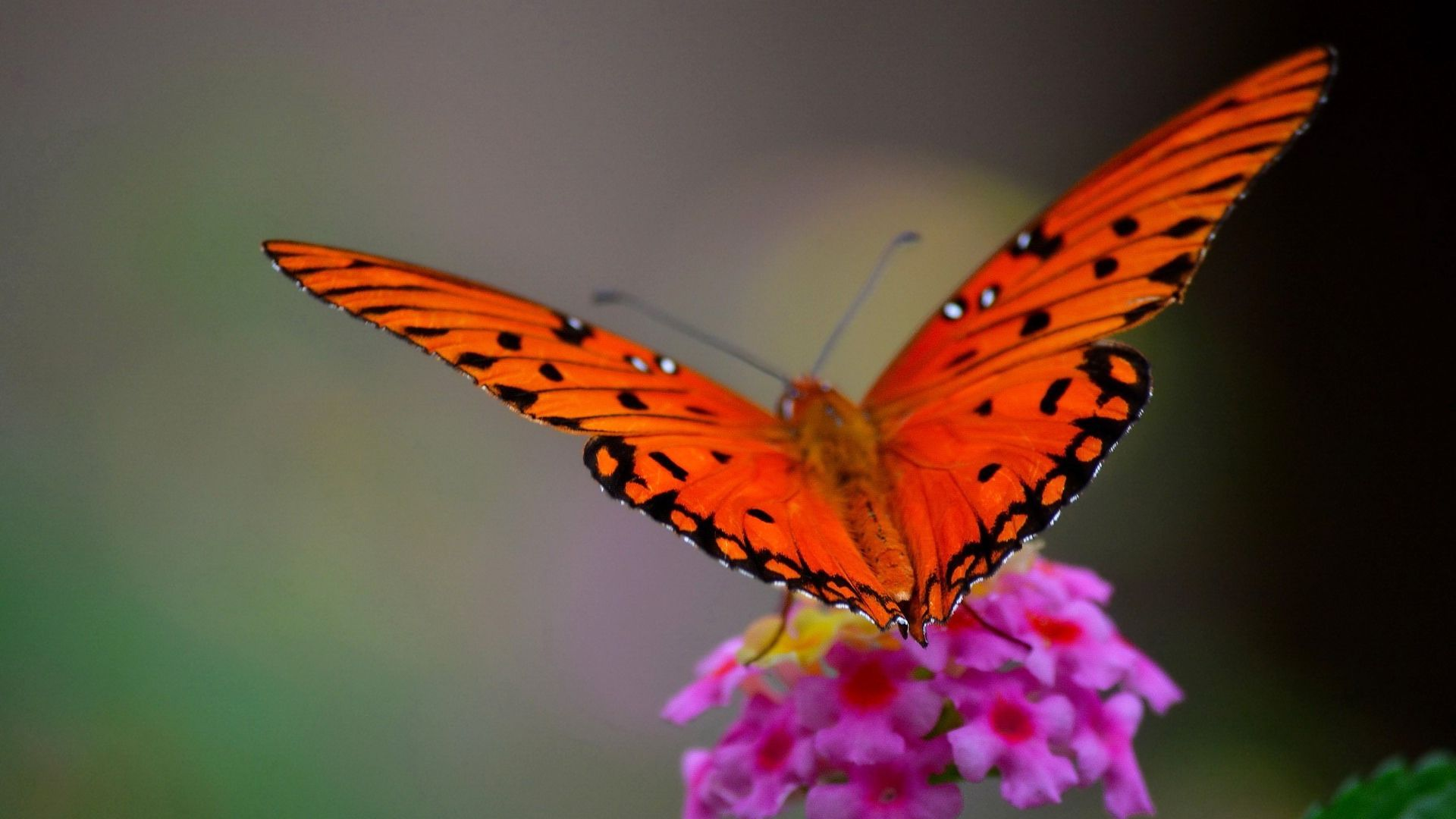 Red Butterfly Wallpapers - Top Free Red Butterfly