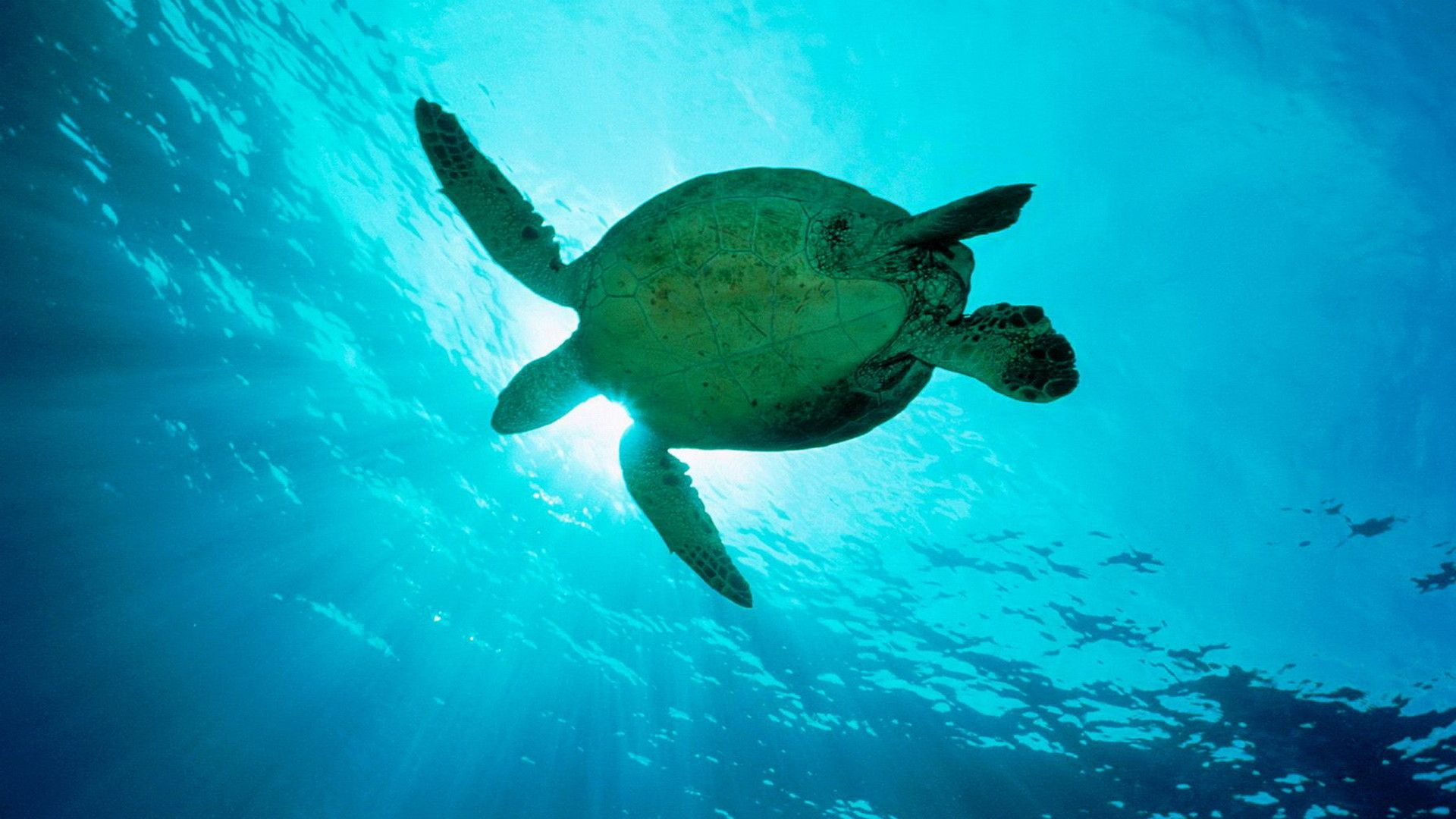 Sea Turtle Laptop Wallpapers Top Free Sea Turtle Laptop Backgrounds Wallpaperaccess