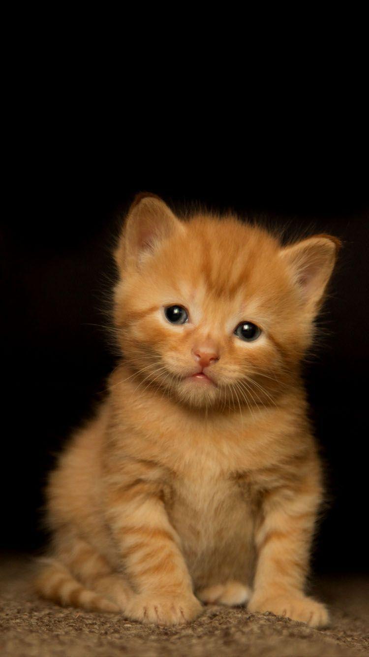Orange Kitten Wallpapers Top Free Orange Kitten Backgrounds Wallpaperaccess