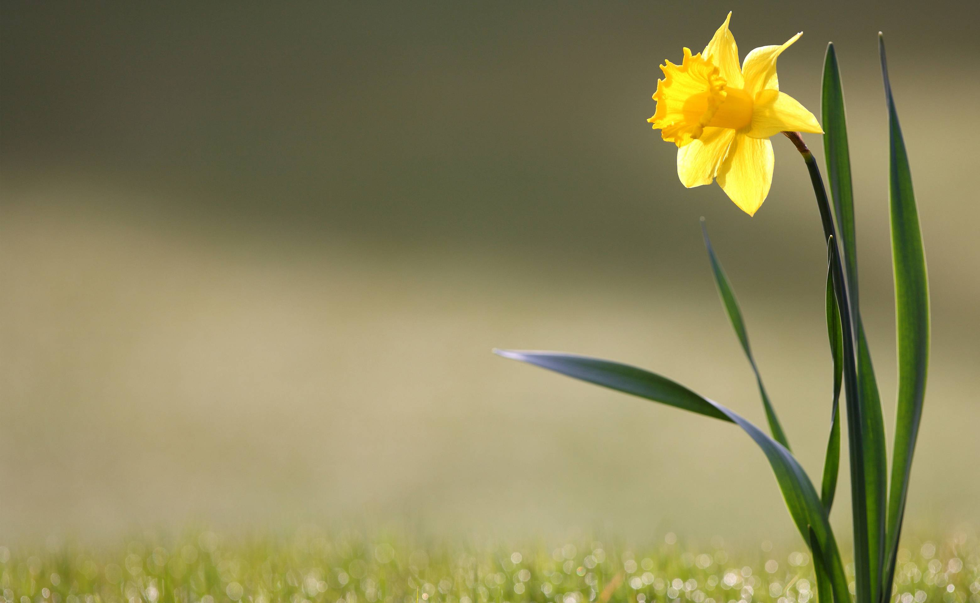 Daffodil Wallpapers Top Free Daffodil Backgrounds Wallpaperaccess