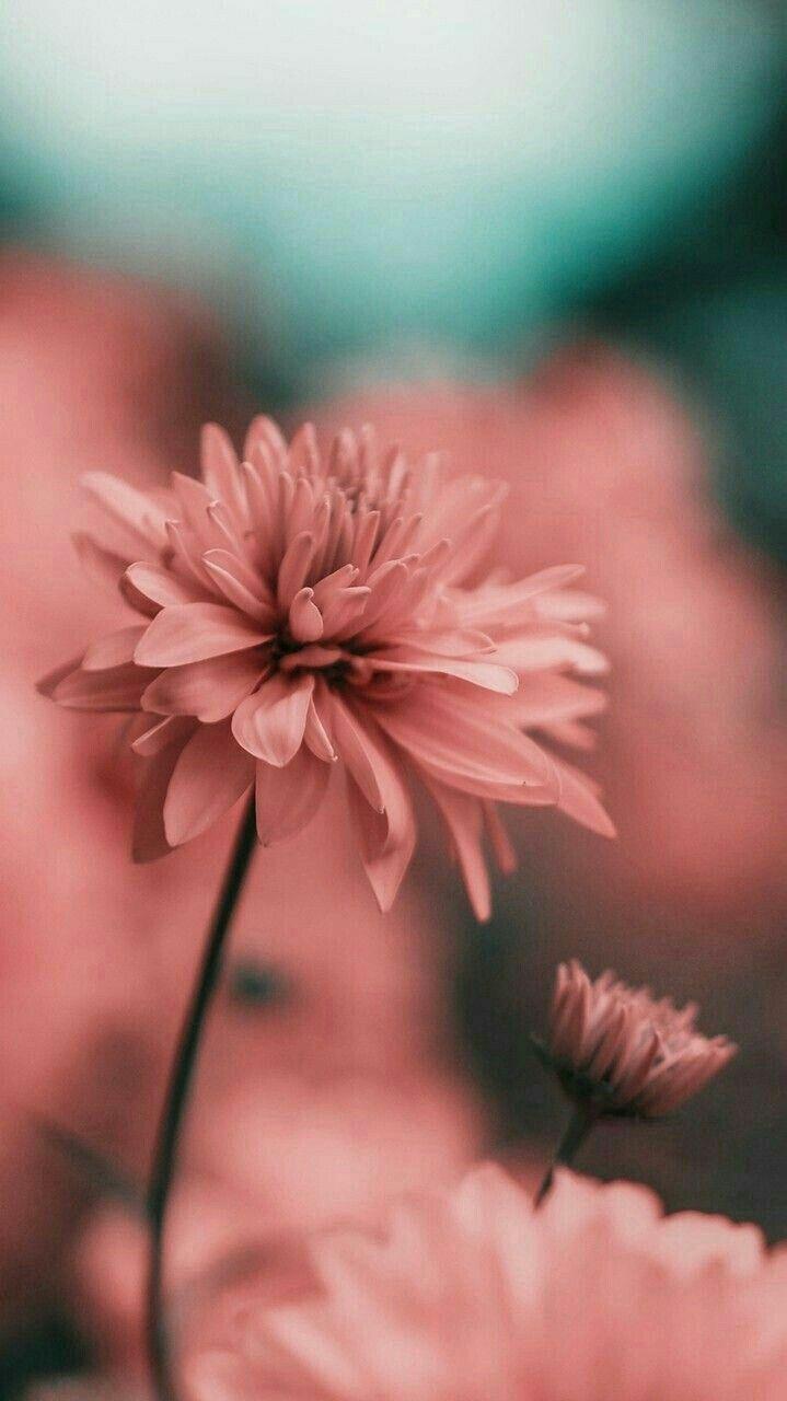 719x1280 Nền hoa êm dịu - Tải xuống Hình nền & Nền HD