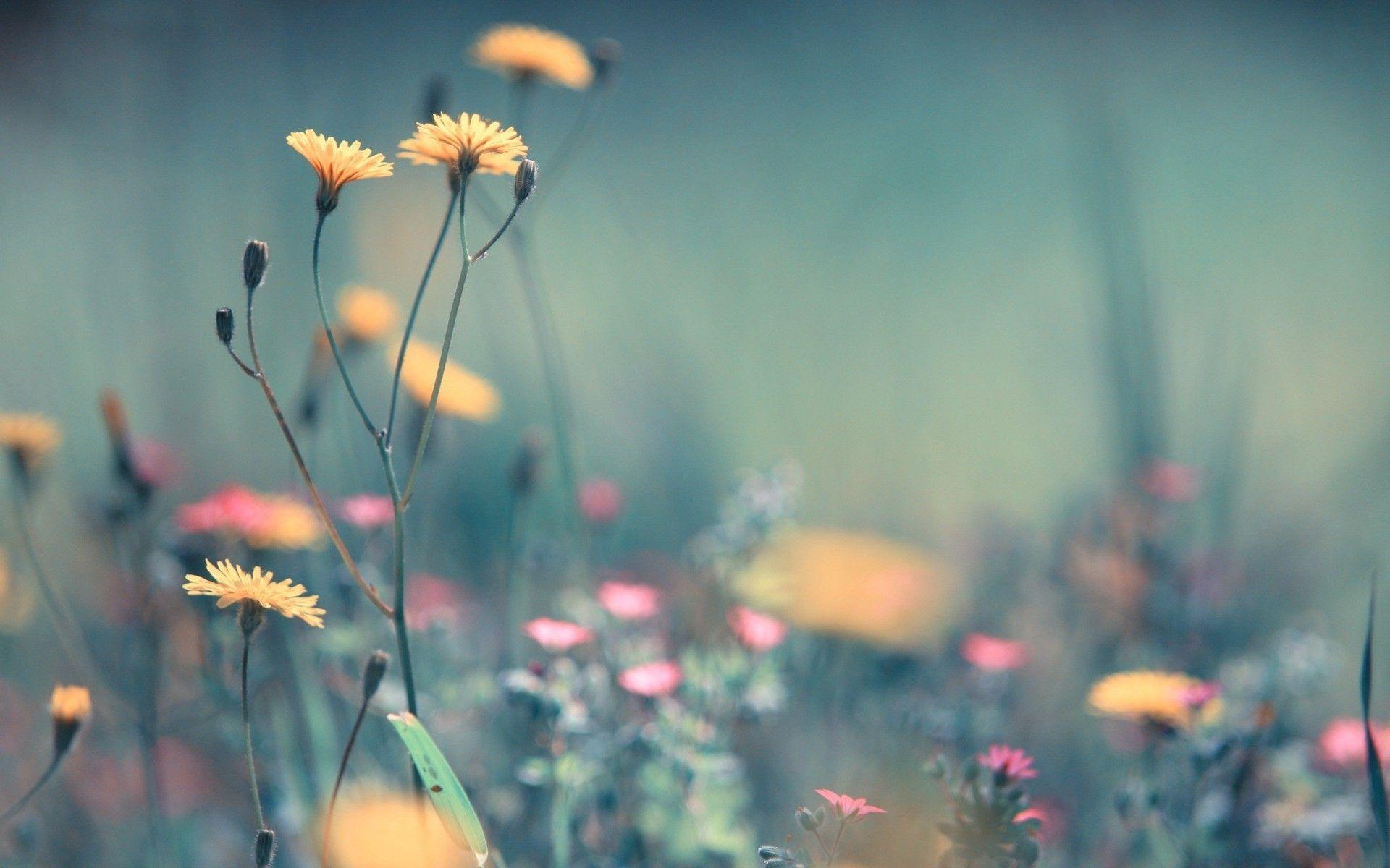 1920x1200 Hình nền bồ công anh, hoa, hoa.  Dandelion, Hoa, Hoa Kho ảnh