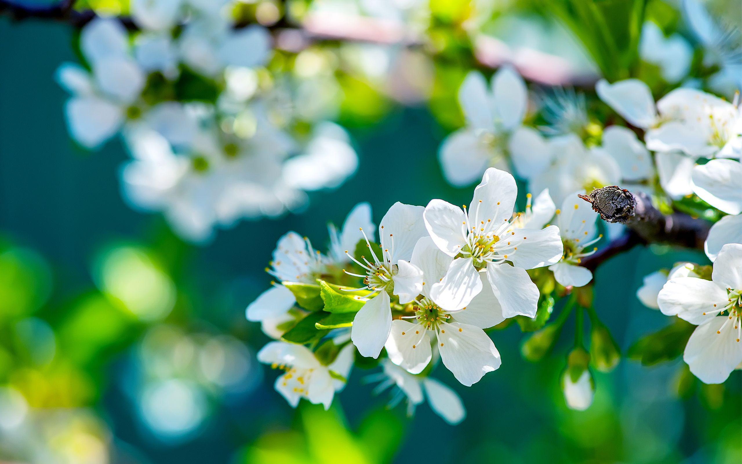 Hình ảnh hoa HD 2560x1600 Tấm dán tường - Hình nền 4K độ phân giải cao