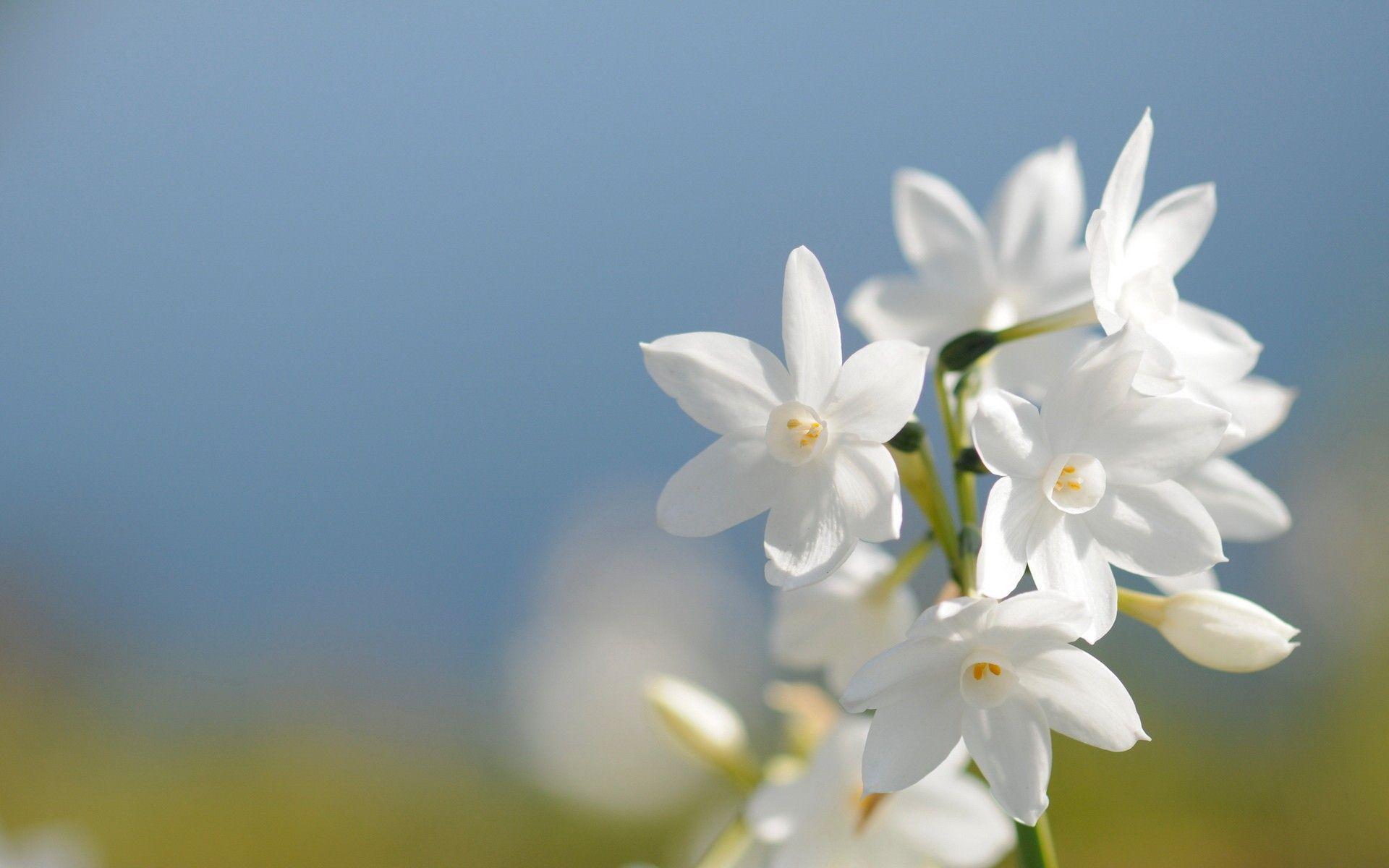 Hình nền hoa trắng 1920x1200