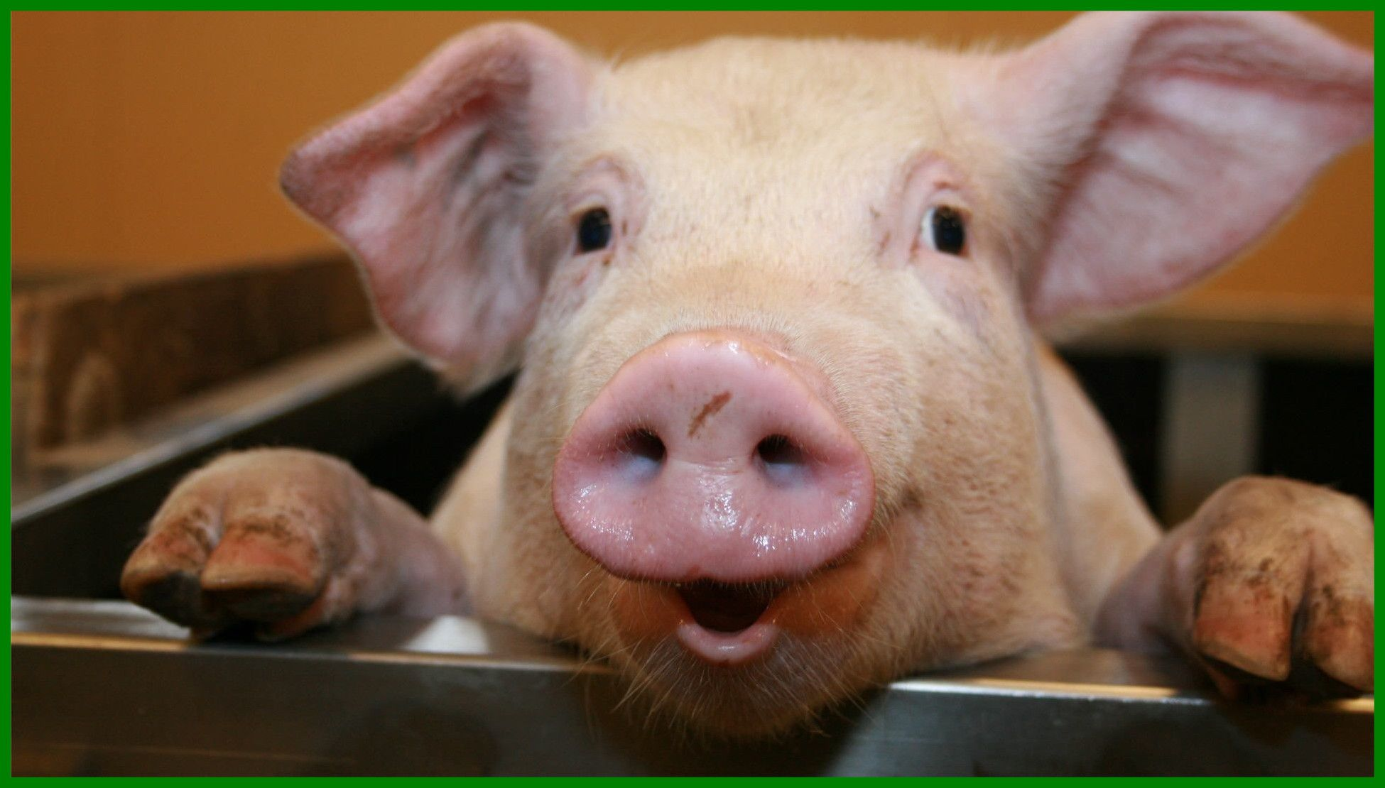 Funny Pig Wallpaper