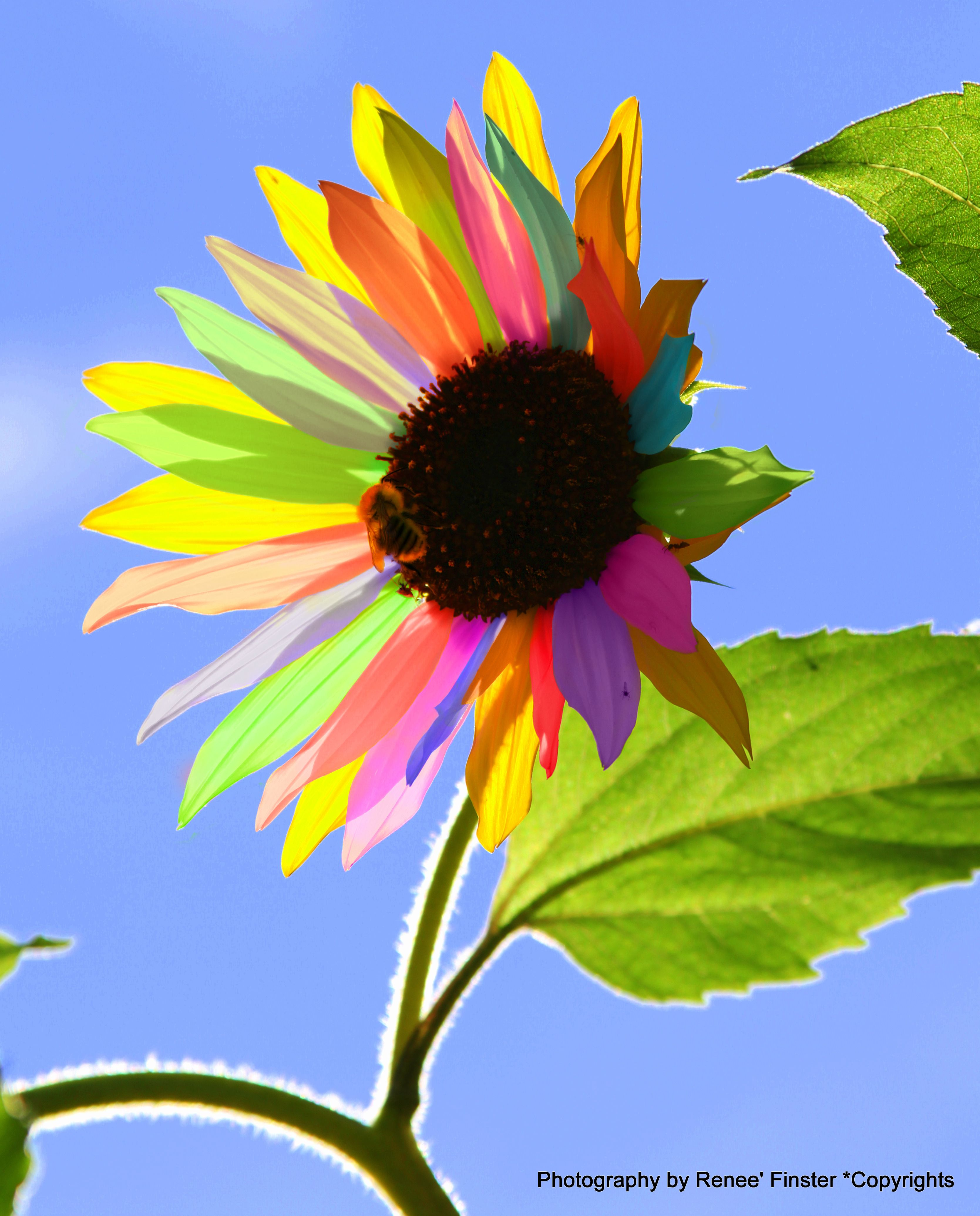 Iphone Rainbow Sunflower Wallpaper