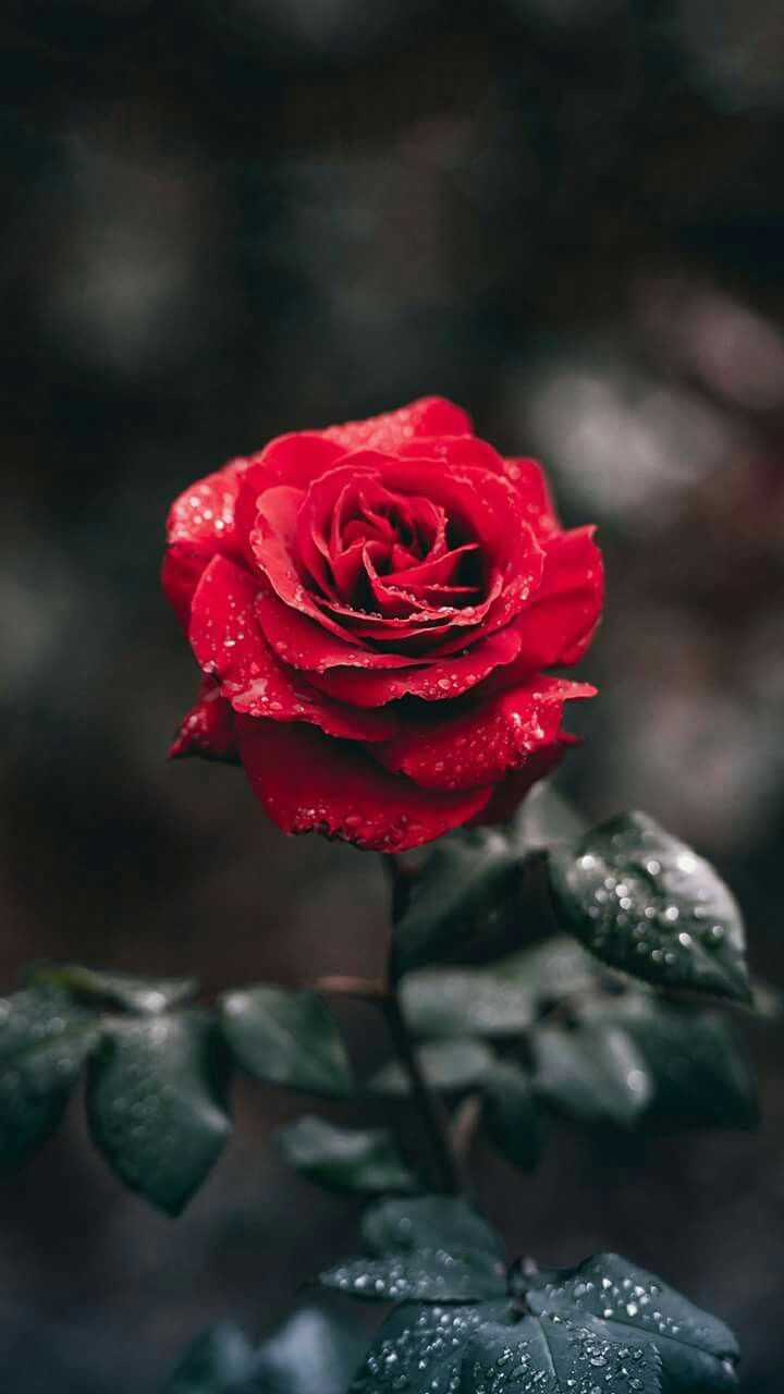 Dope rose wallpapers top free dope rose backgrounds - Rose flowers wallpaper for mobile ...