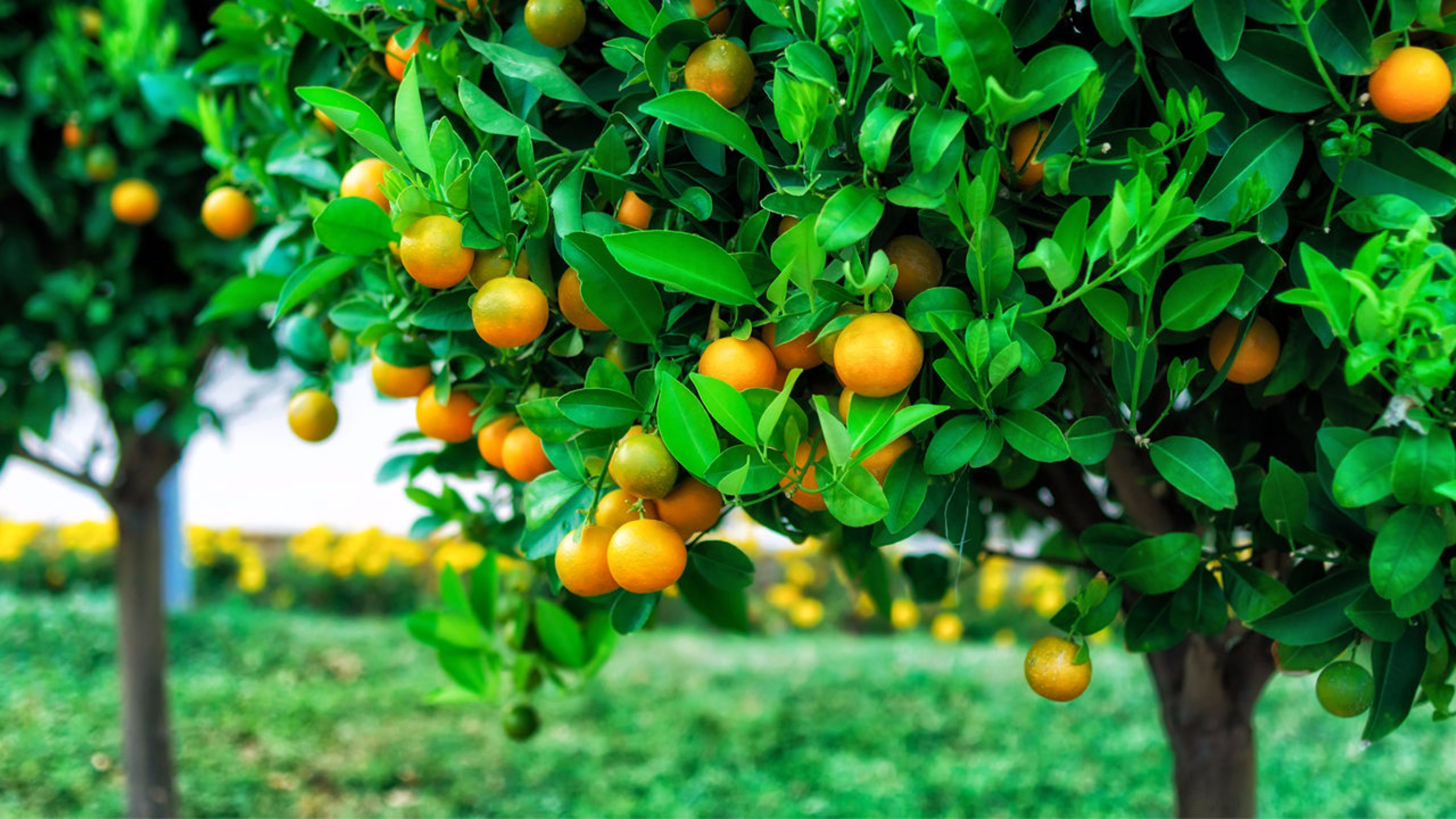 Fruit Tree Wallpapers Top Free Fruit Tree Backgrounds Wallpaperaccess