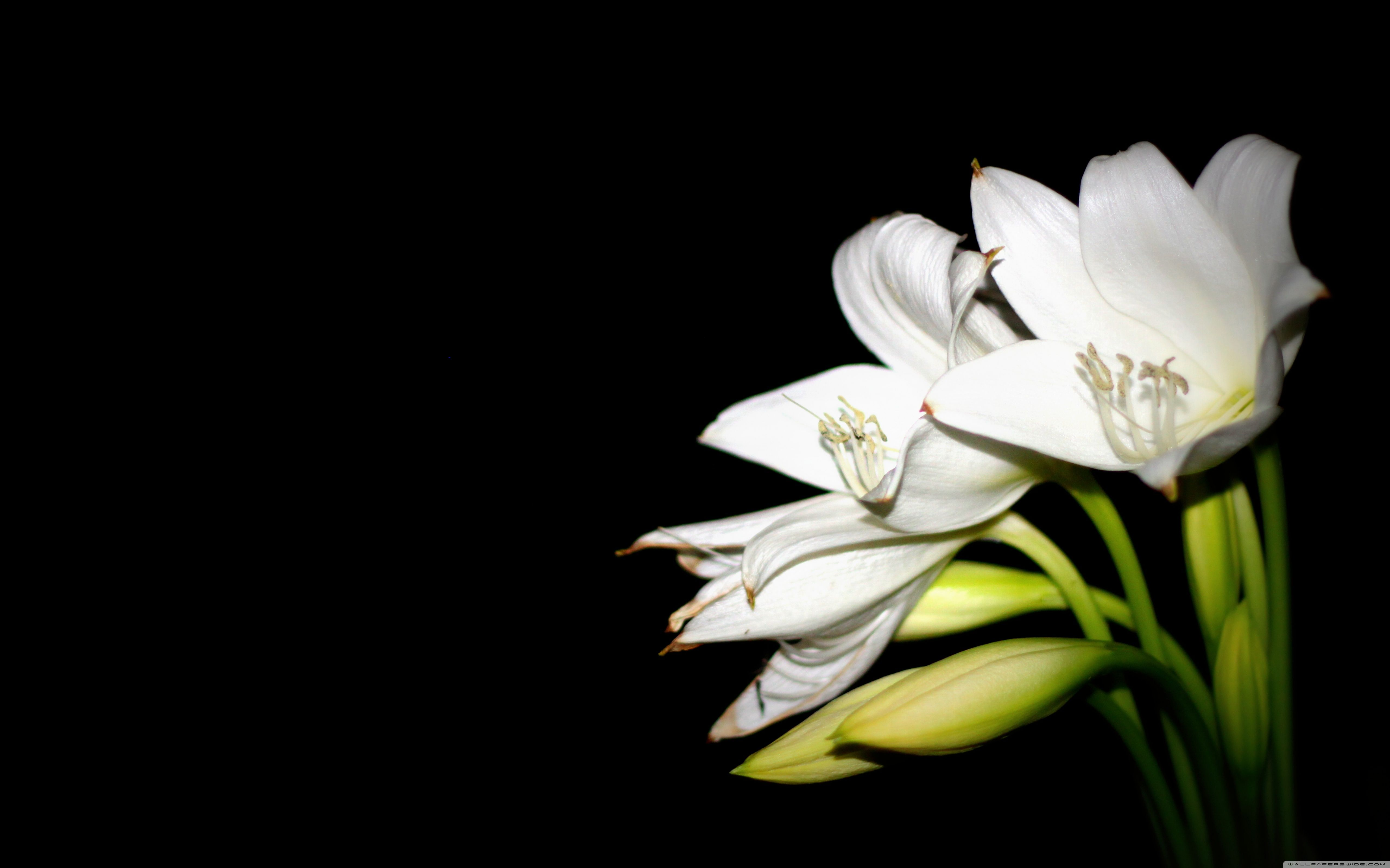 White Lily Wallpapers Top Free White Lily Backgrounds Wallpaperaccess
