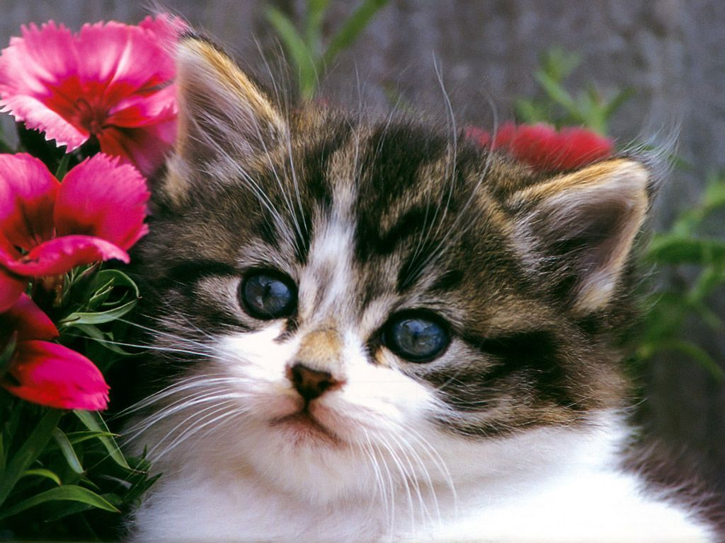 Cats And Kittens Wallpapers Top Free Cats And Kittens