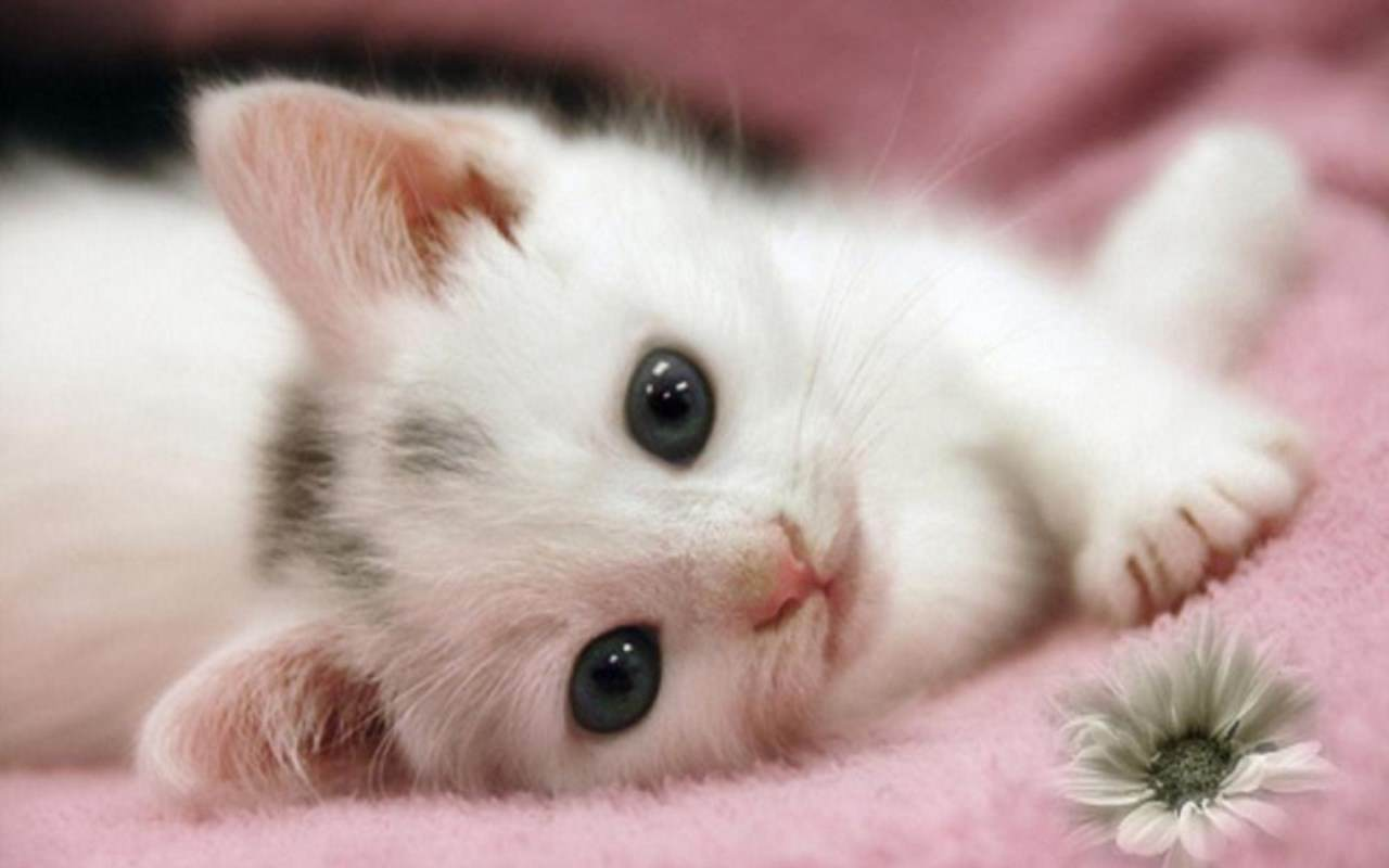 Cute Cats And Kittens Wallpapers Top Free Cute Cats And