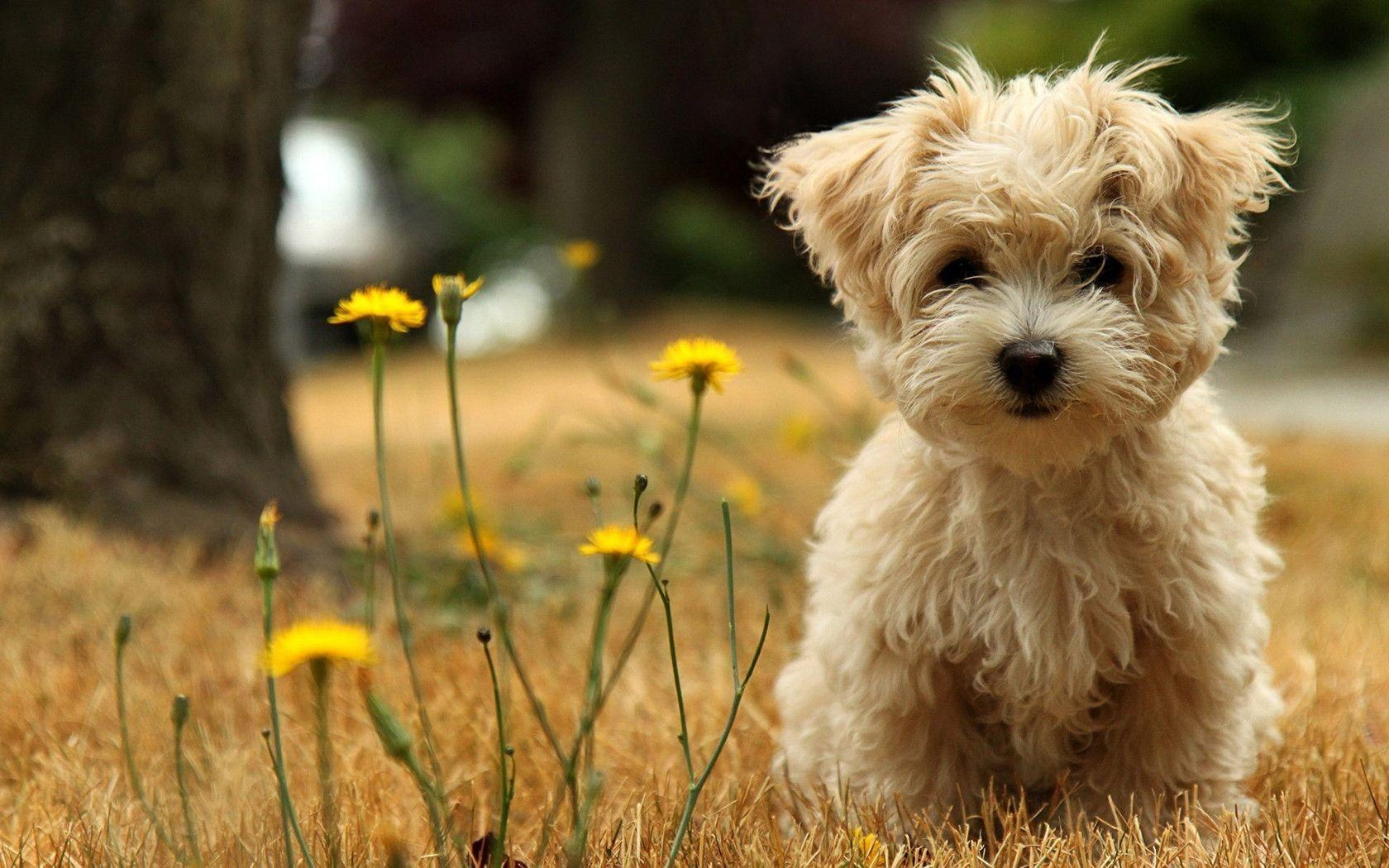 Puppy Desktop Wallpapers Top Free Puppy Desktop Backgrounds Wallpaperaccess