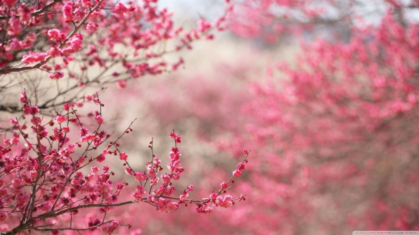 45 Best Free Japanese Cherry Blossom Tree Wallpapers Wallpaperaccess