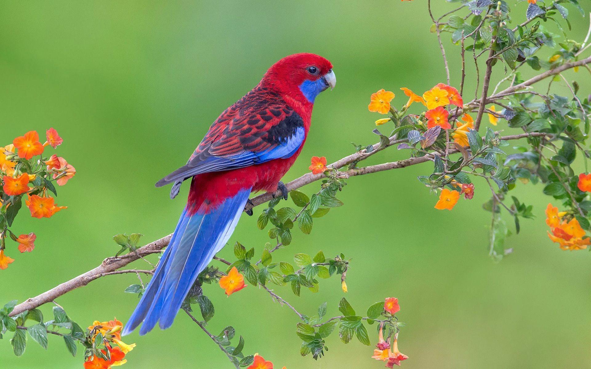 1920x1080 Beautiful Red Parrot Bird Hd Wallpaper Hd Wallpapers