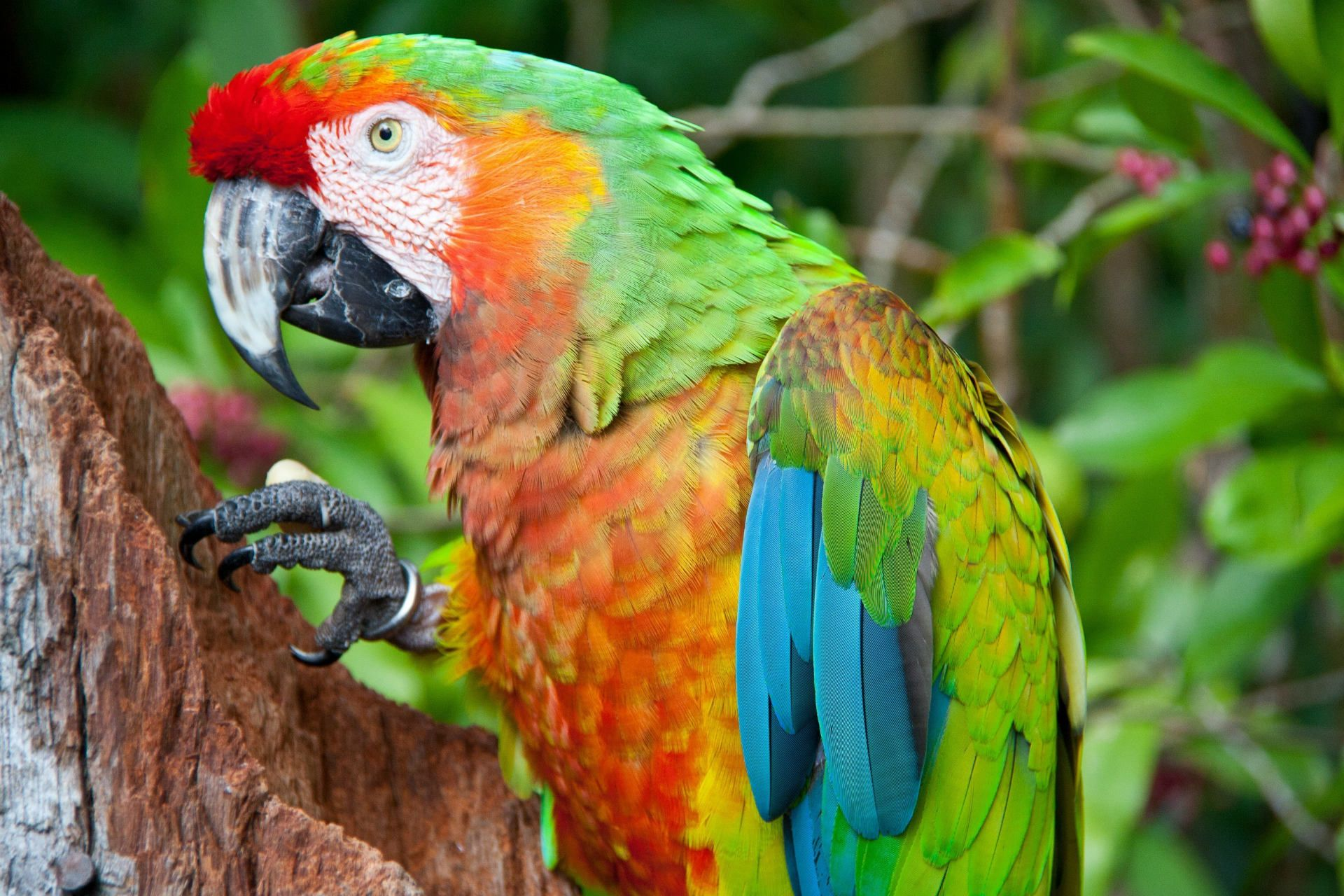 Green parrot branches macaw wallpaper x