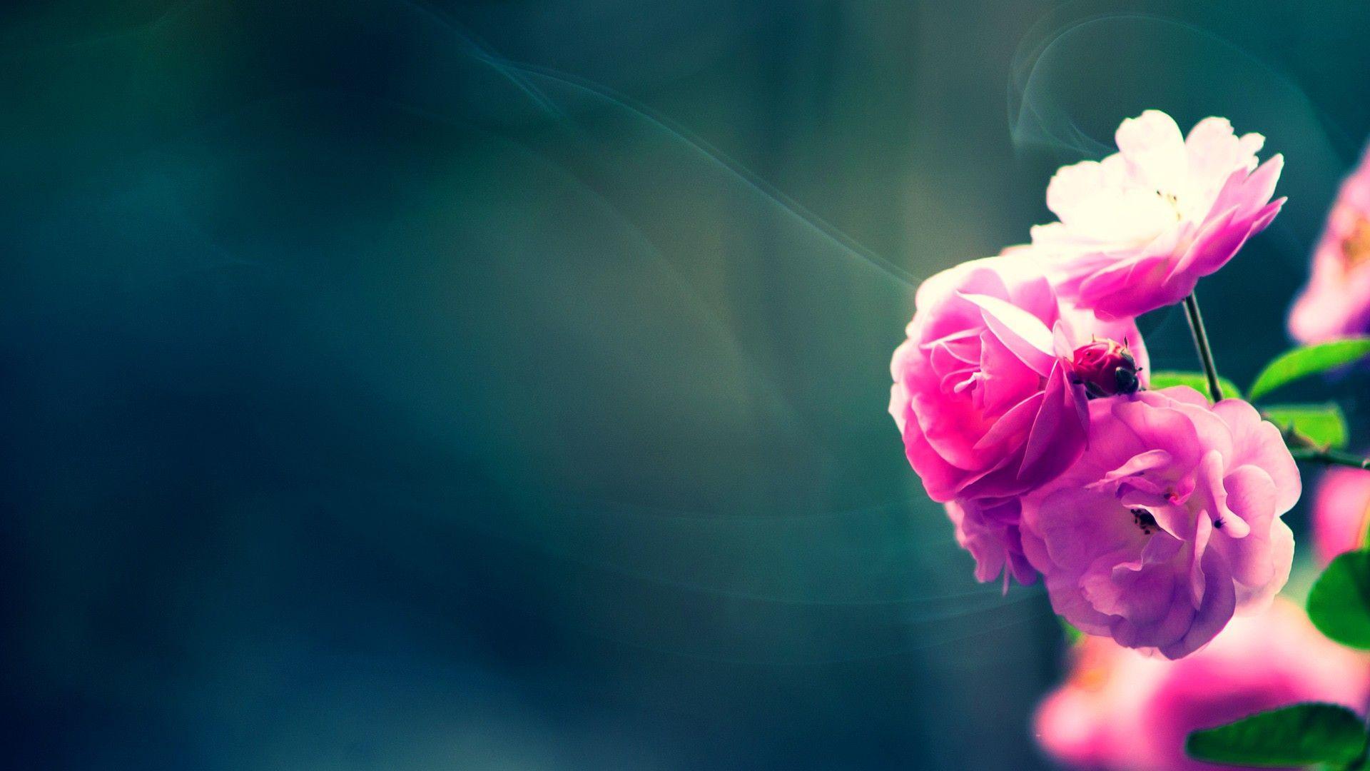 Flower Hd Wallpapers Top Free Flower Hd Backgrounds