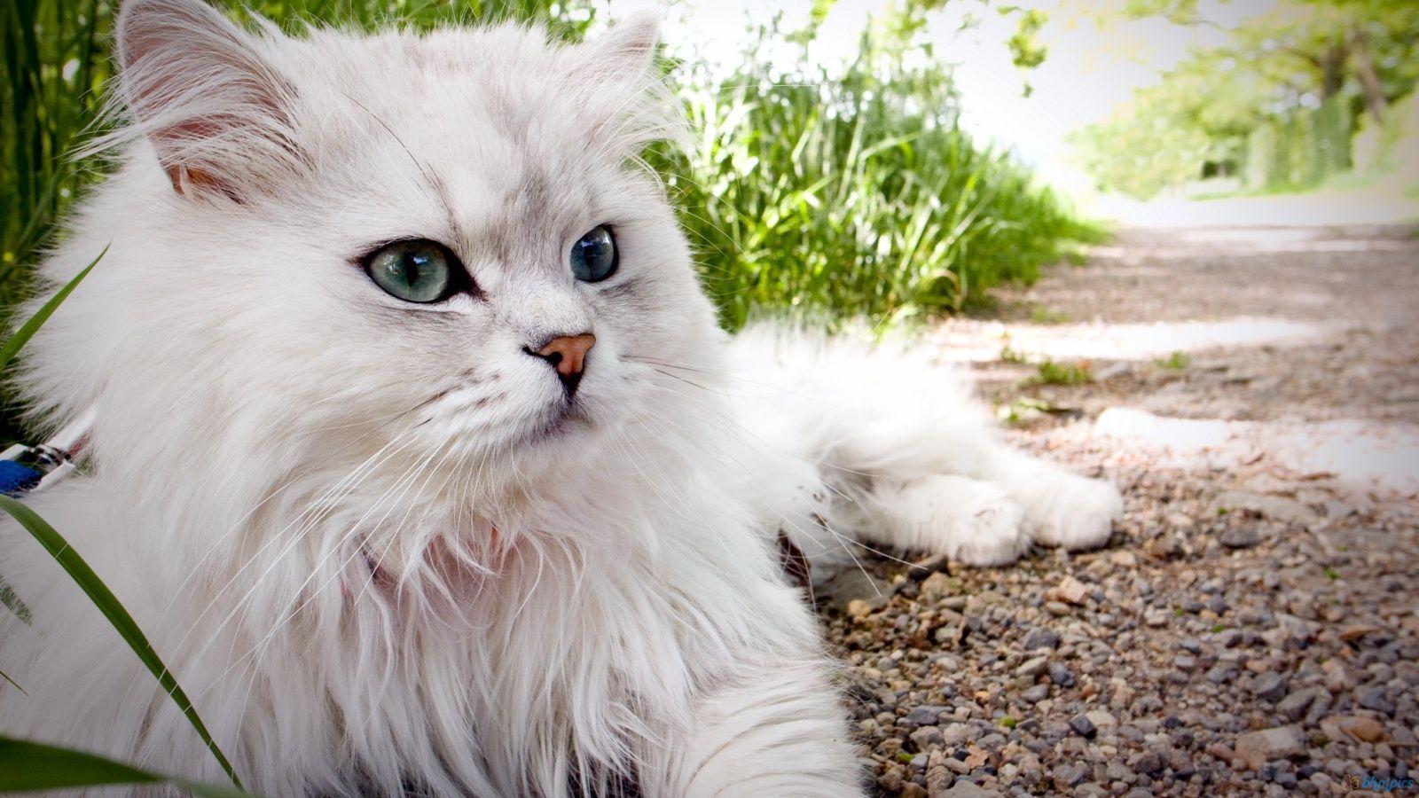 Persian Cat Wallpapers Top Free Persian Cat Backgrounds Wallpaperaccess