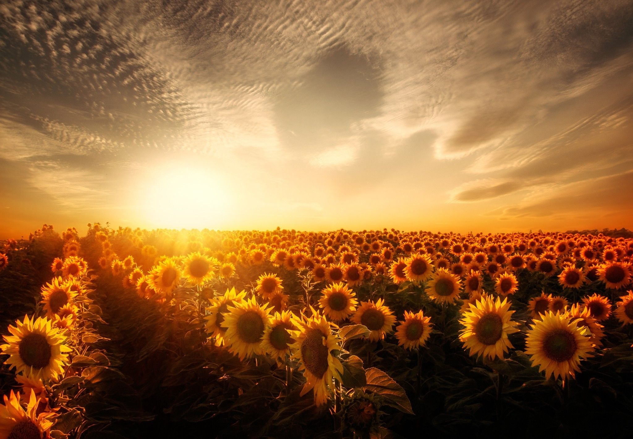 Vintage Sunflower Sunset Wallpapers Top Free Vintage Sunflower Sunset Backgrounds Wallpaperaccess