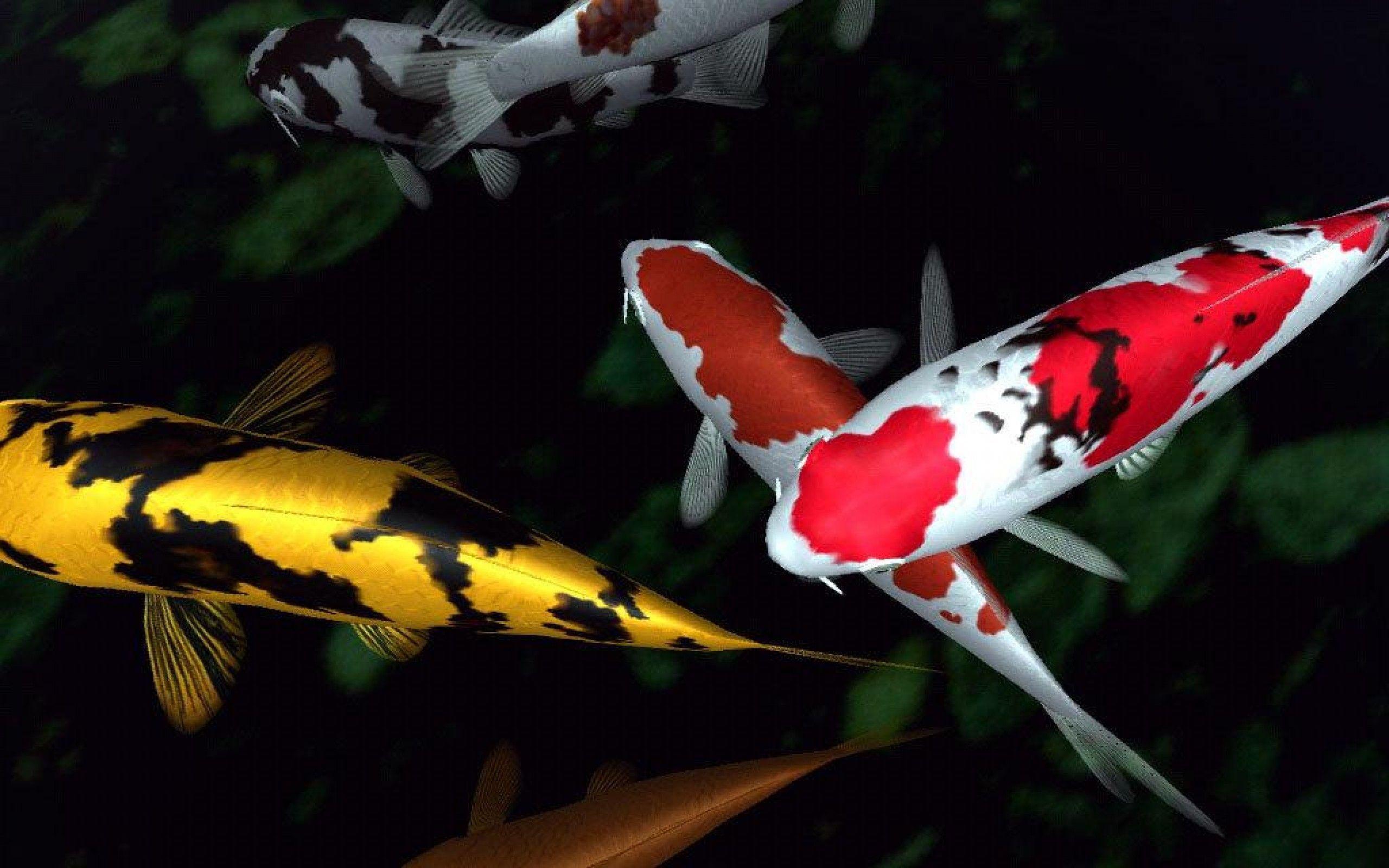 Koi Fish Wallpapers Top Free Koi Fish Backgrounds