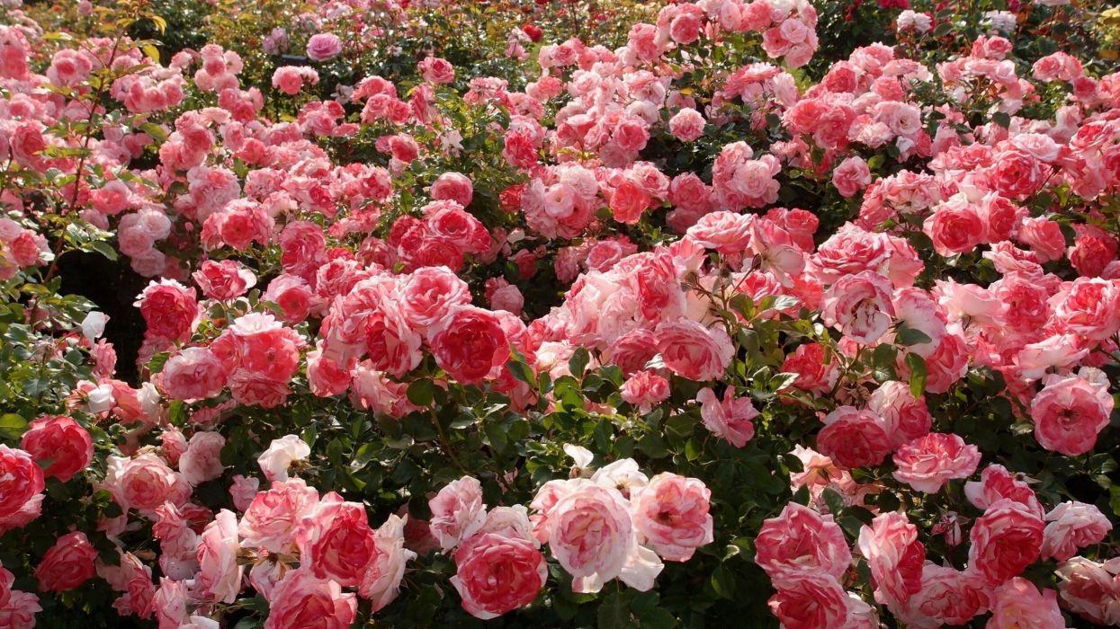 Rose Garden Wallpapers Top Free