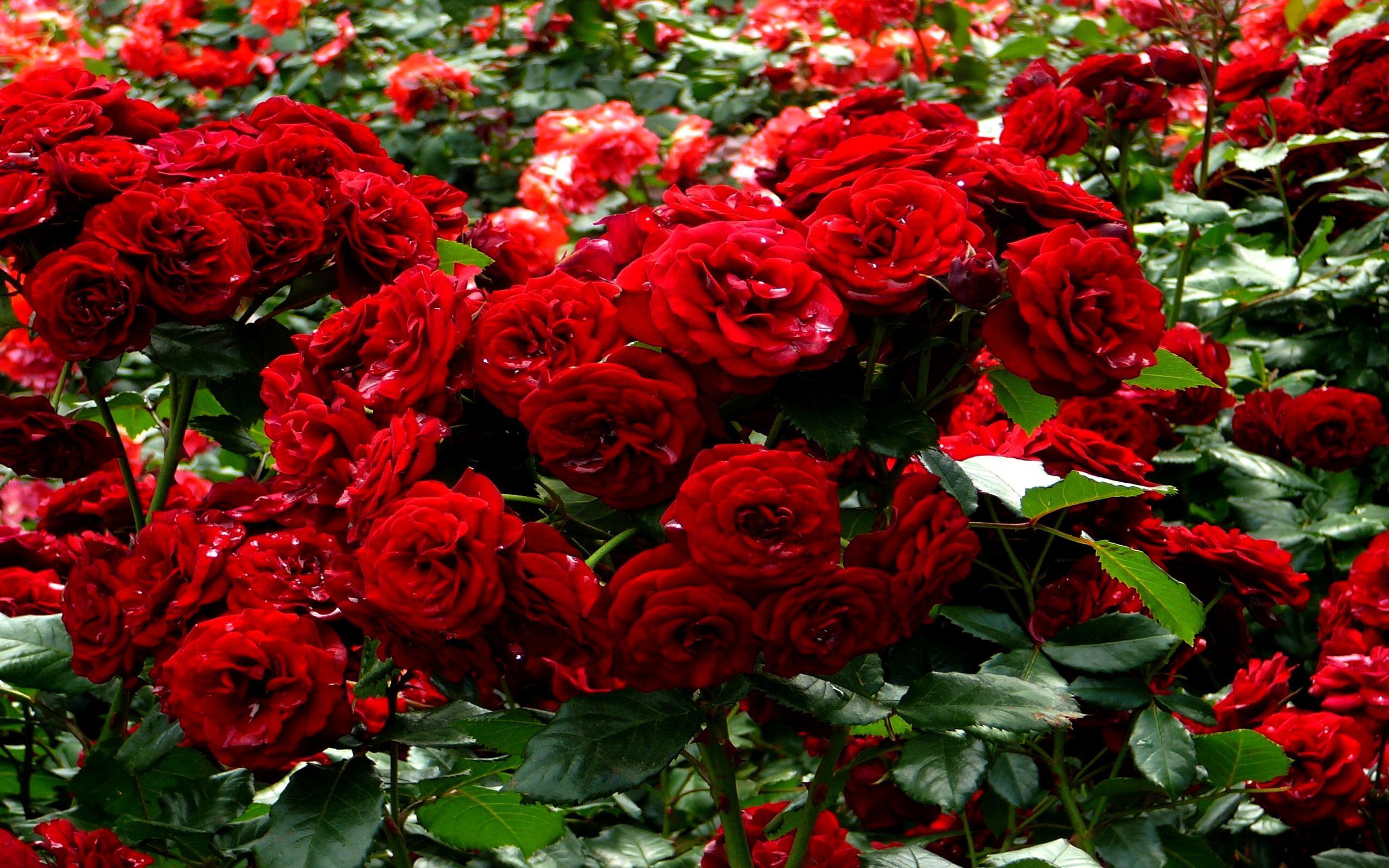 Rose Garden Wallpapers , Top Free Rose Garden Backgrounds