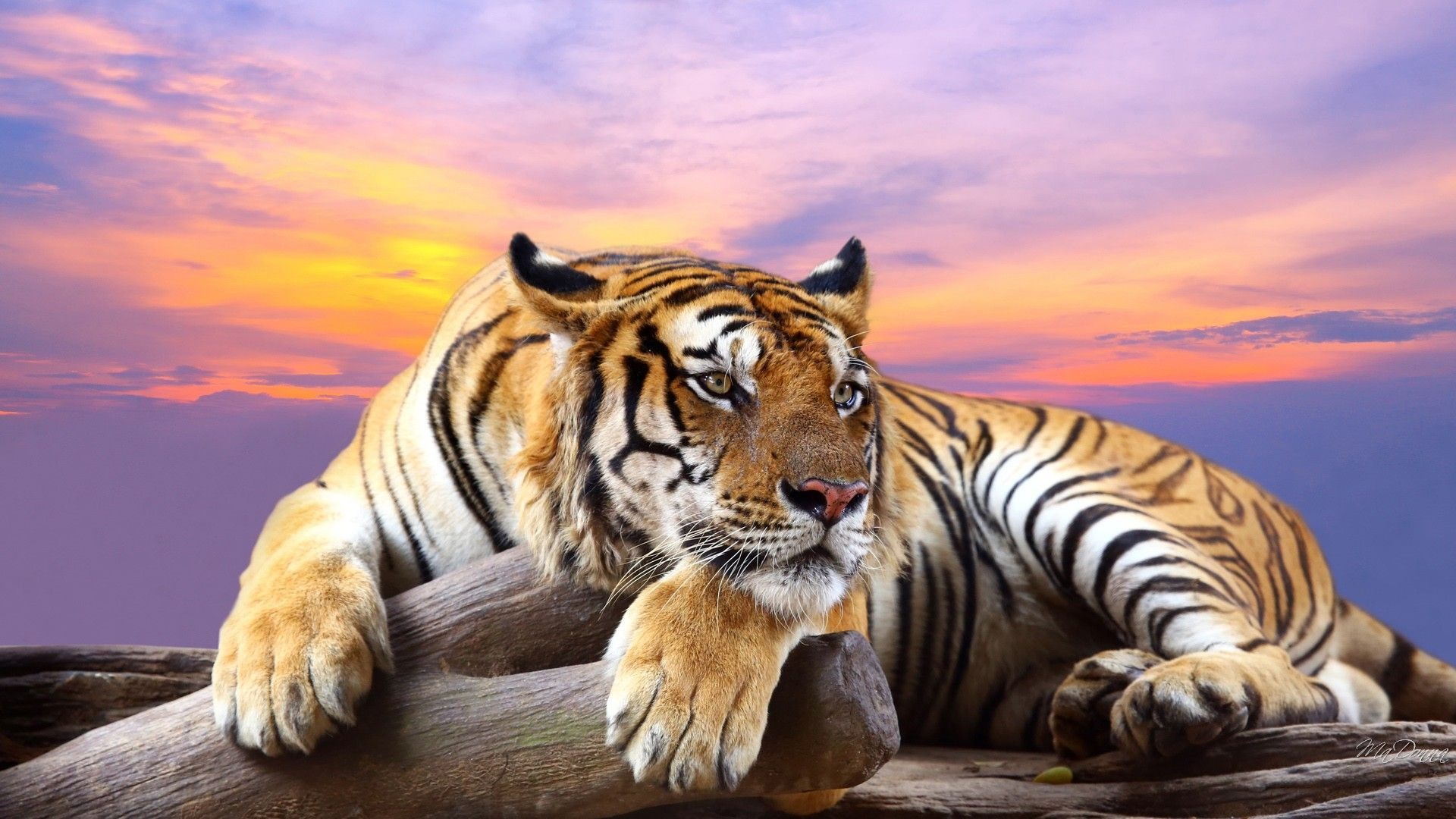 "1920x1200 Images Of Tiger (47)"">"