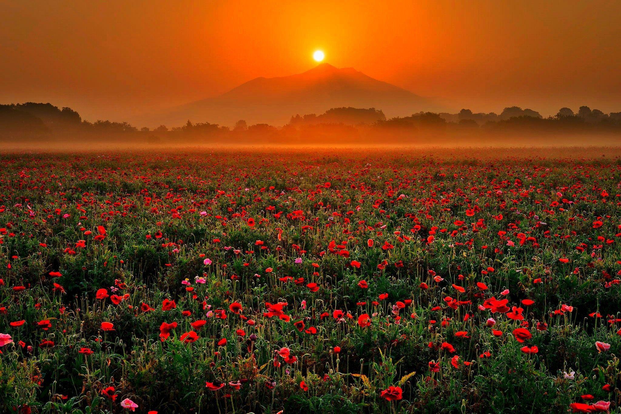 2048x1367 Hoa: Mùa xuân Bình minh Hoa anh túc Hoa anh túc Mặt trời mọc Hoa anh túc Sương mù buổi sáng