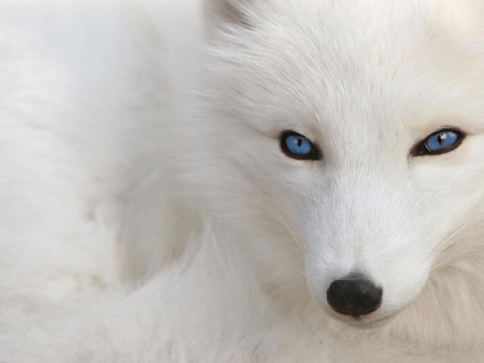 Hình nền con chó trắng 1600x1200