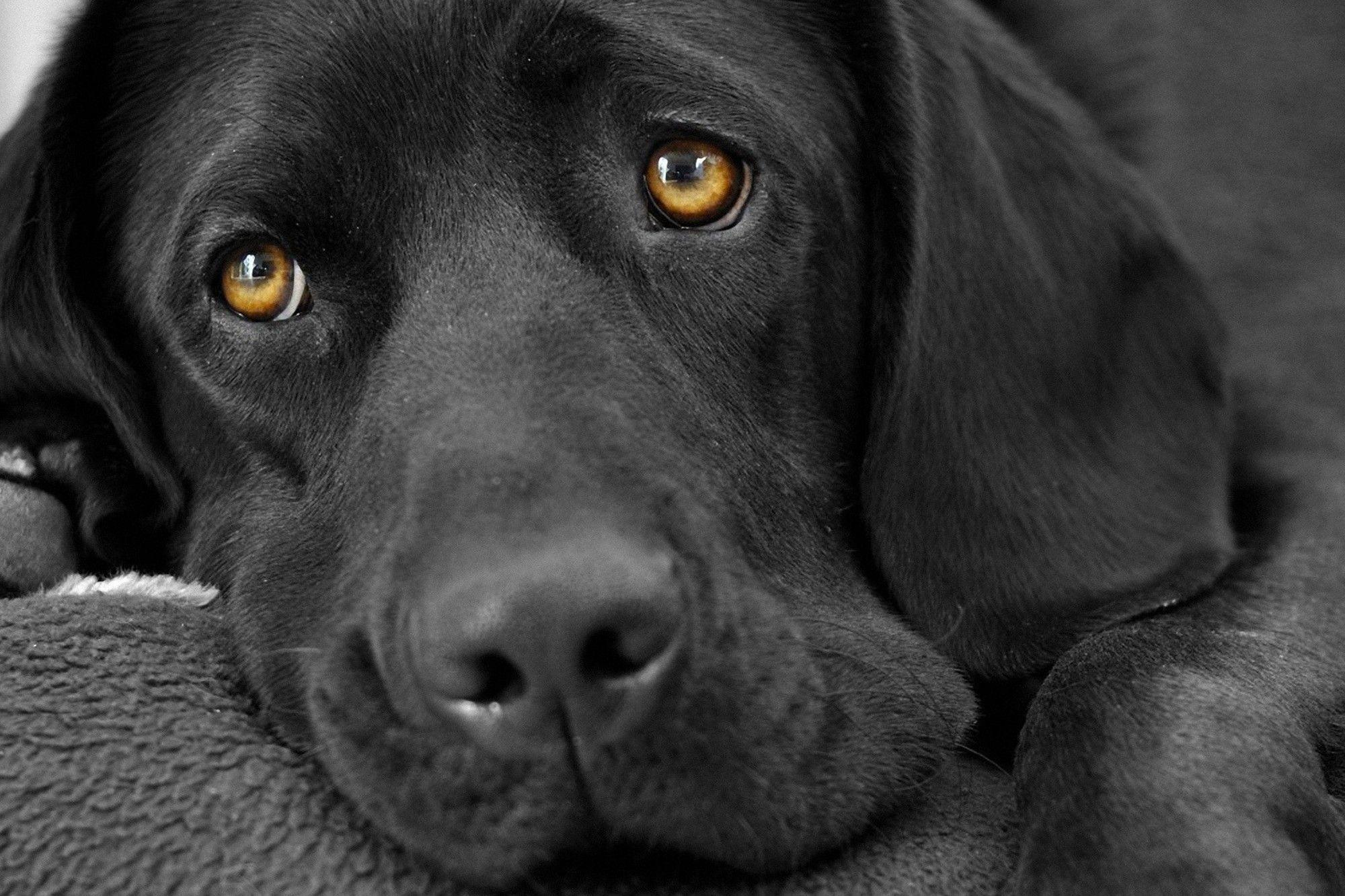 Hình nền chó đen trắng 2000x1333 Độ nét cao là hình nền 4K
