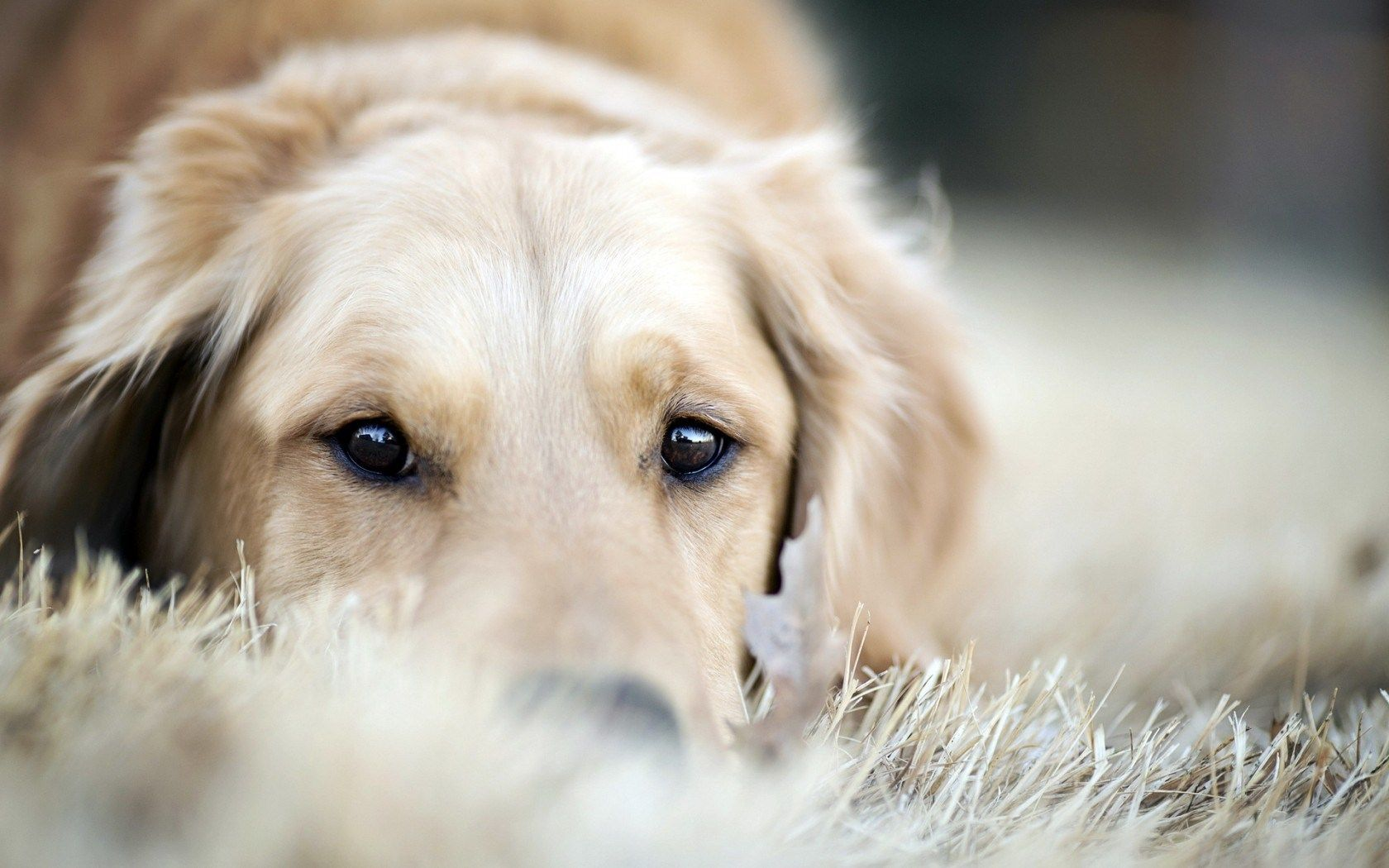 1680x1050 Dog - Hình ảnh - Hình nền - Ảnh.  Những người yêu chó.  Chó