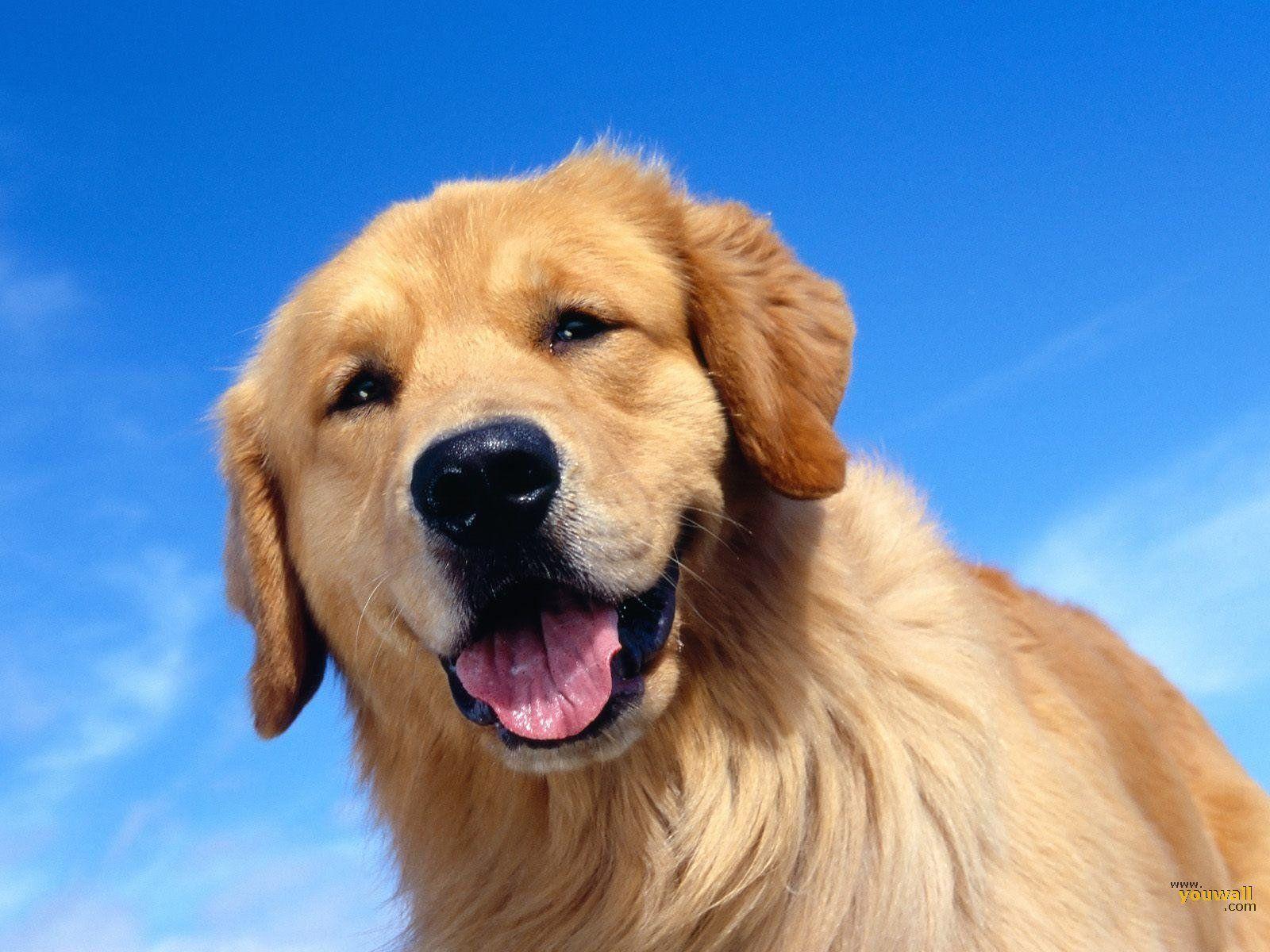 Bộ sưu tập hình nền con chó lớn 1600x1200