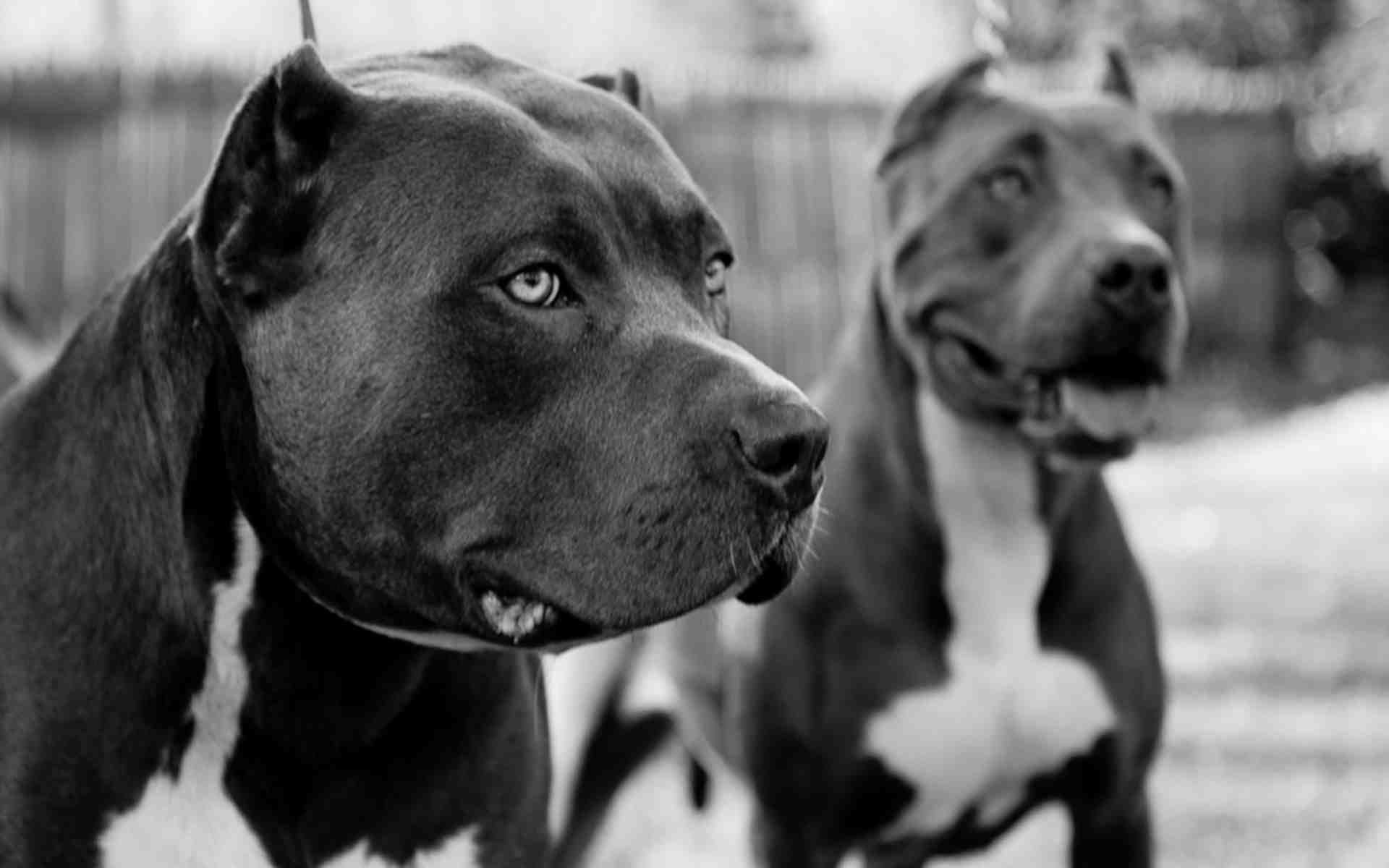 Hình nền chó Pitbull 1920x1200