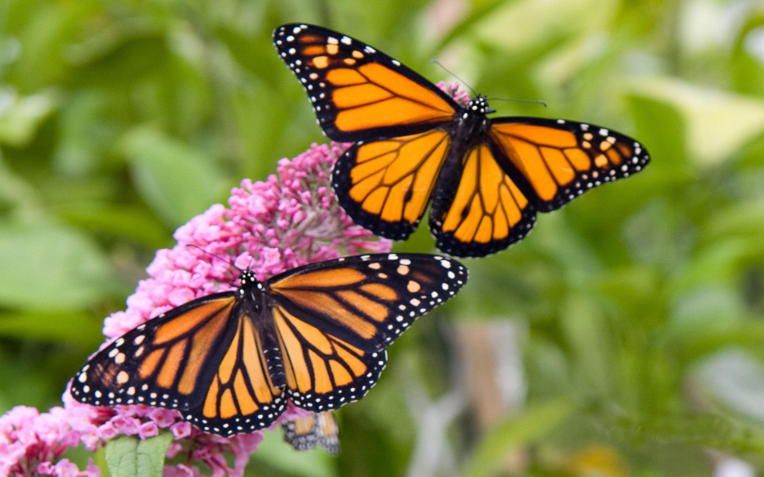 Monarch Butterfly Wallpapers - Top Free Monarch Butterfly ...