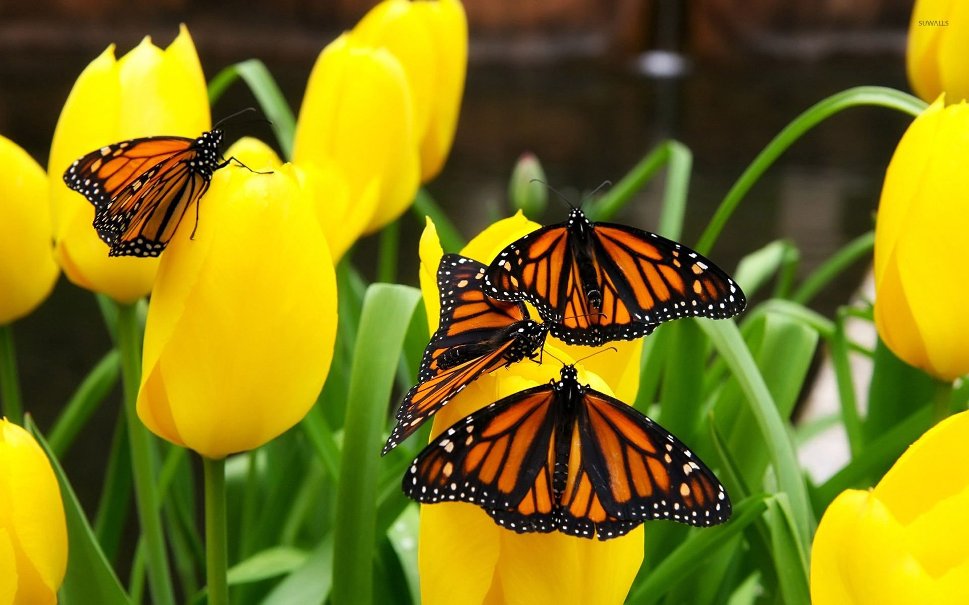 Monarch Butterfly Wallpapers Top Free Monarch Butterfly