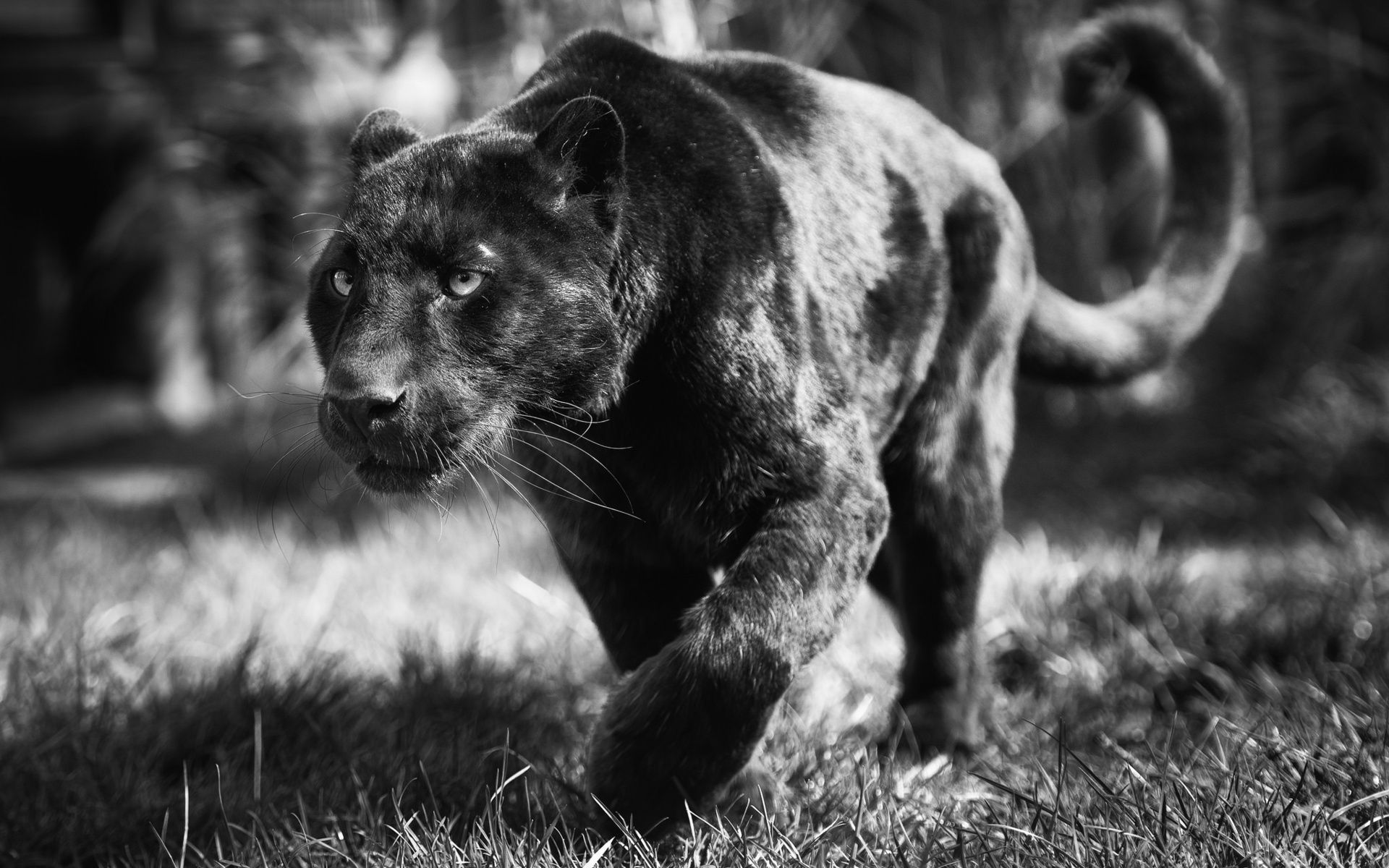 White And Black Panther Wallpapers Top Free White And