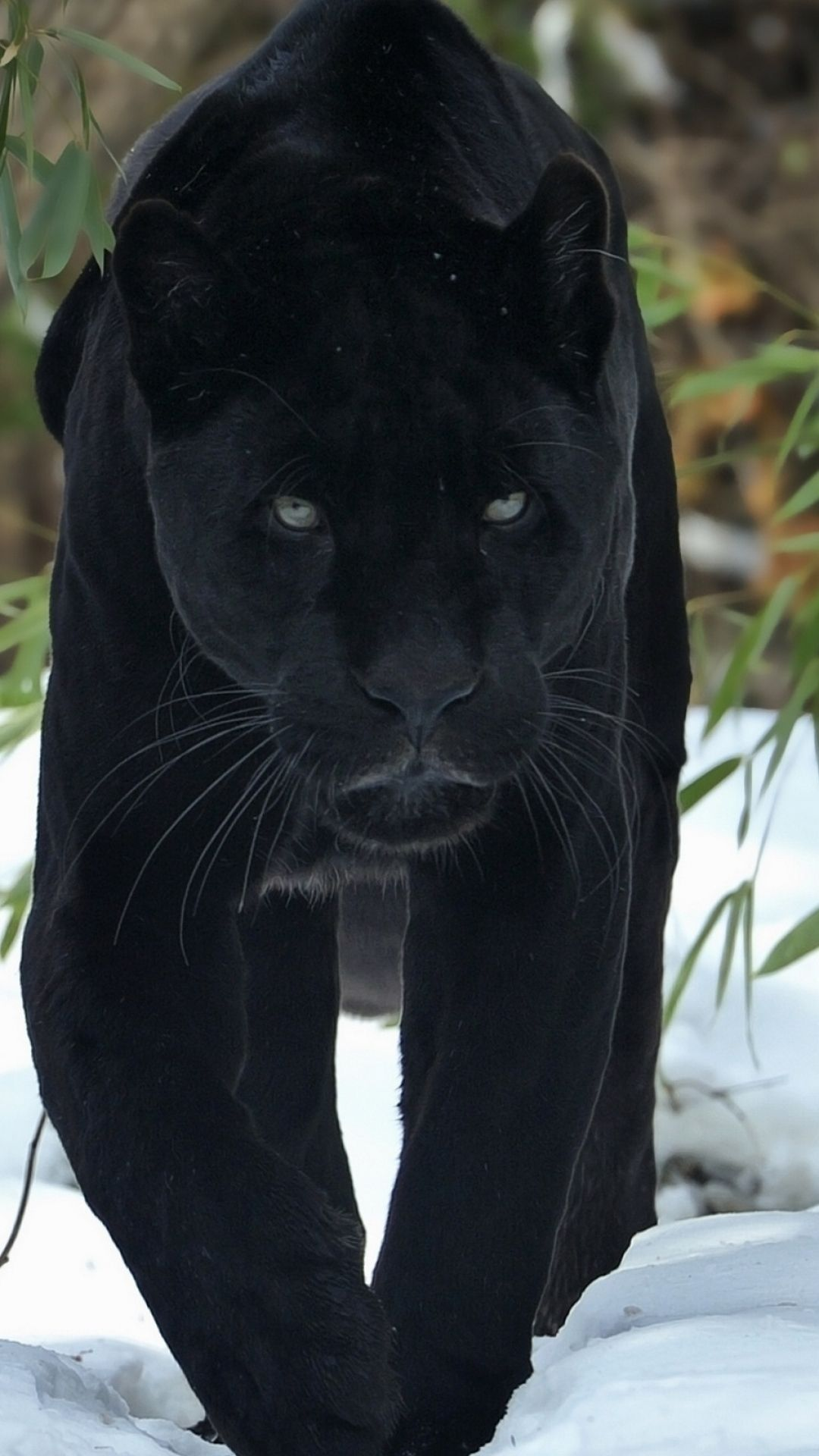 Black Panther Animal Iphone Wallpapers Top Free Black Panther Animal Iphone Backgrounds Wallpaperaccess